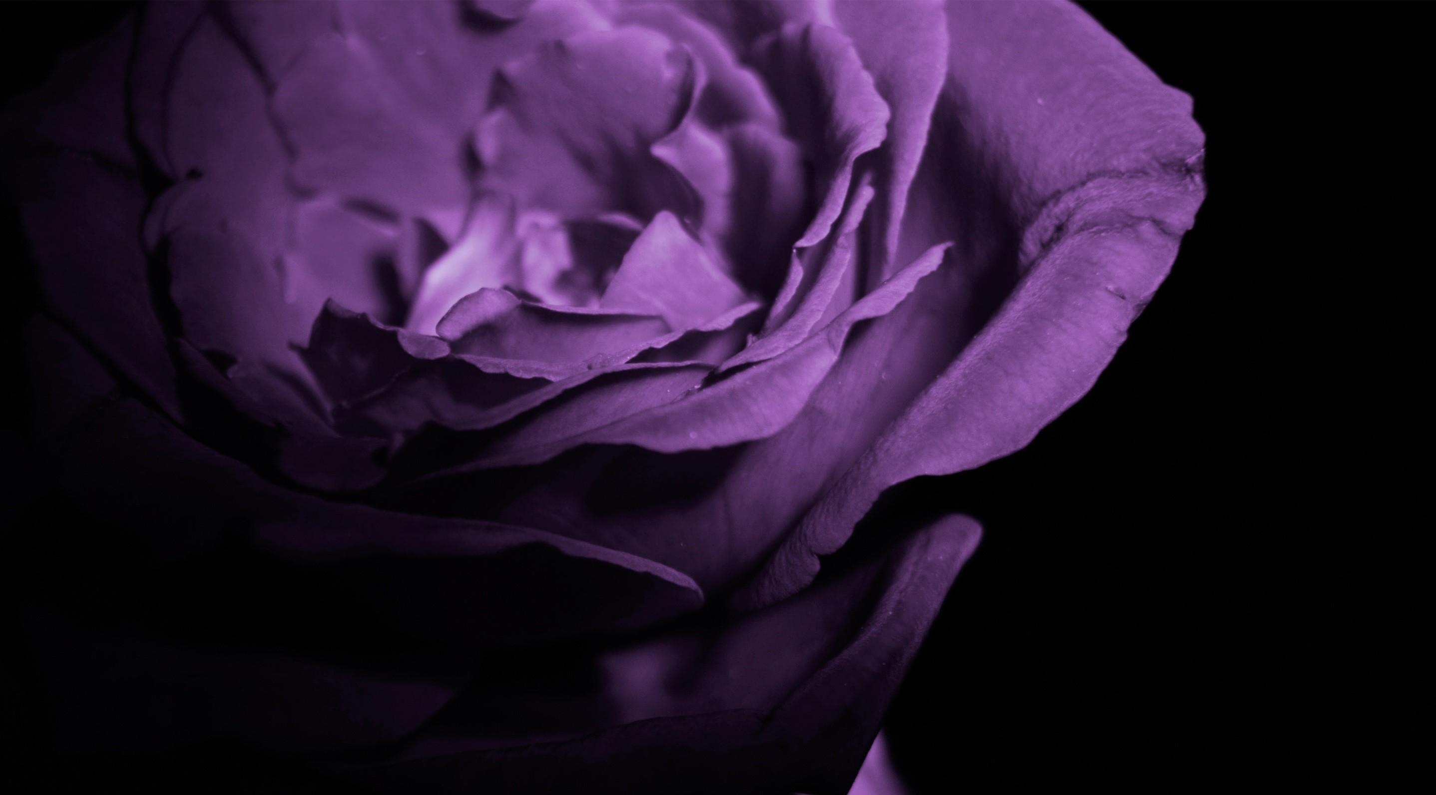 Res: 2875x1592, Full HD Purple Rose Wallpaper