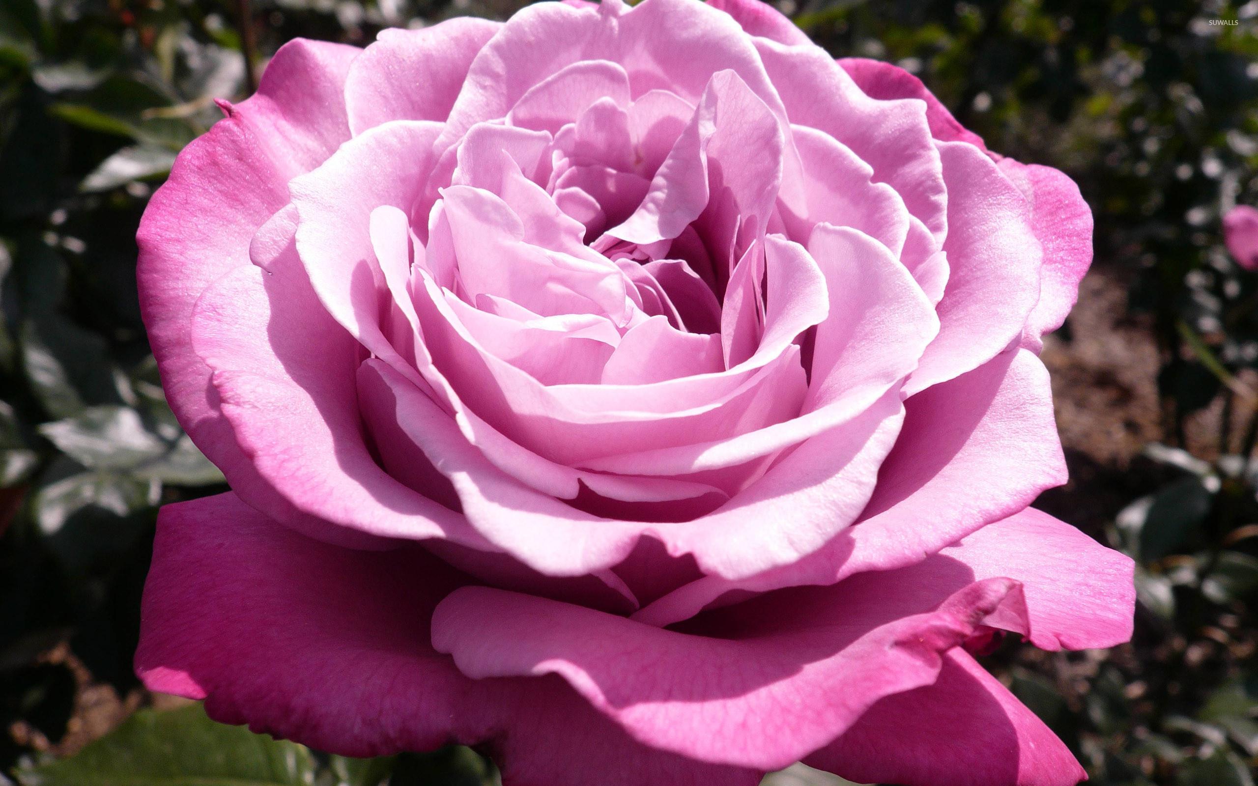Res: 2560x1600, Purple rose [3] wallpaper