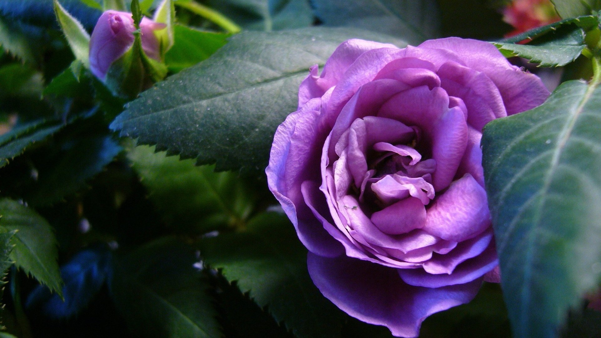 Res: 1920x1080, beautiful purple roses wallpapers Beautiful purple roses in the garden  wallpapers and images - wallpapers,