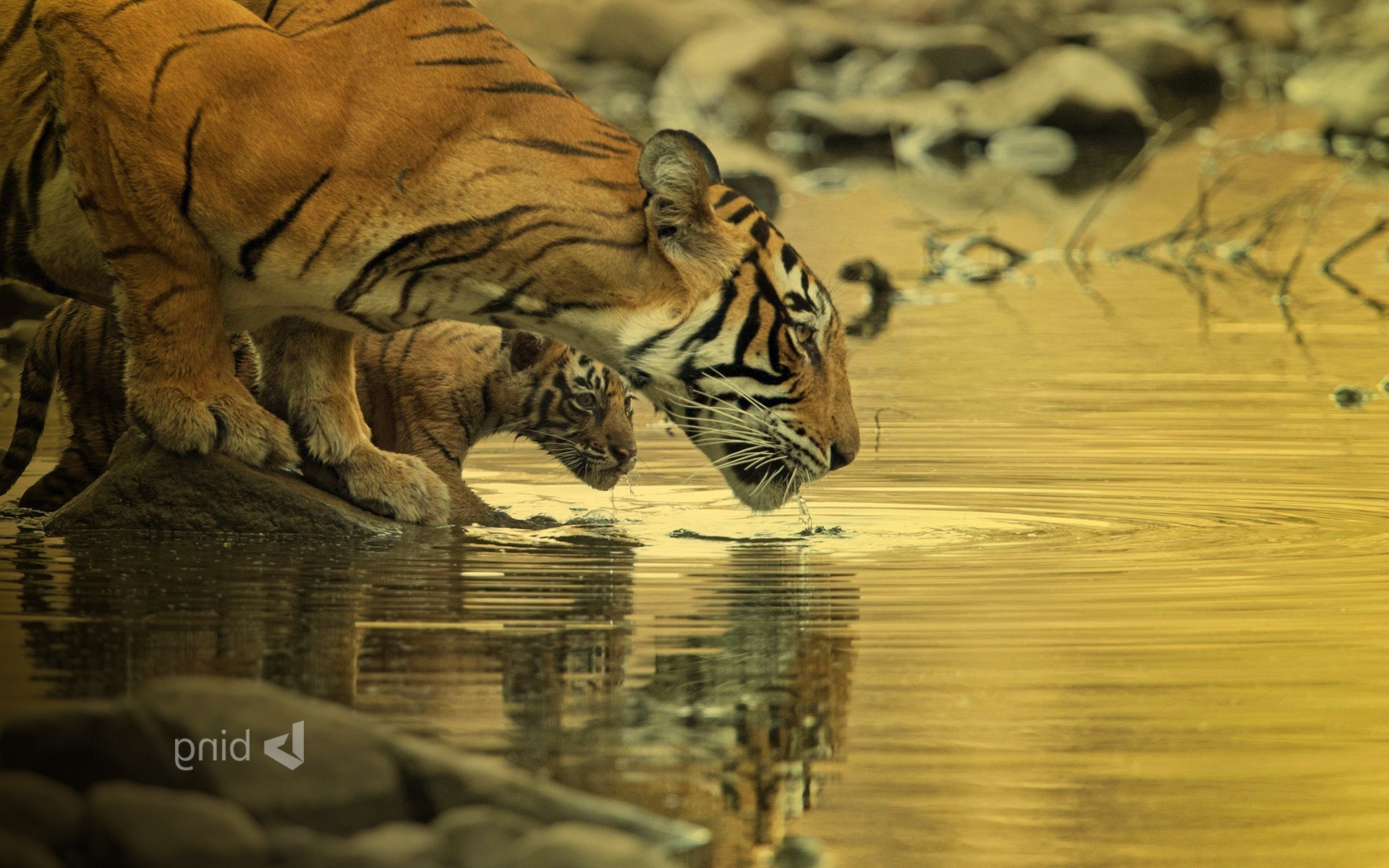Res: 1920x1200, tiger bing wallpapers big cats baby animals water animals Wallpapers HD /  Desktop and Mobile Backgrounds