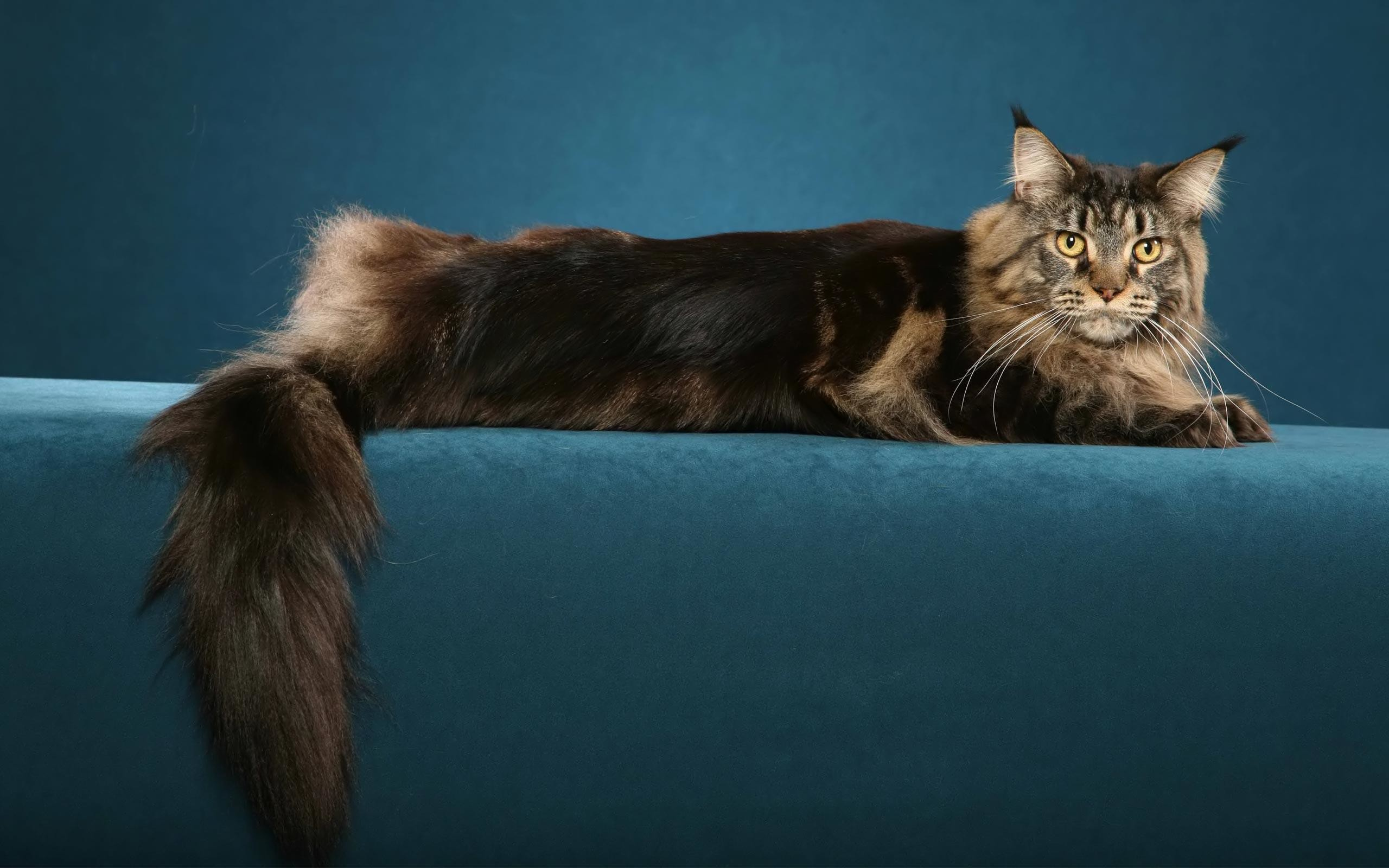 Res: 2560x1600, Maine Coon Cats Wallpapers   Maine Coon Cat Desktop Wallpapers .