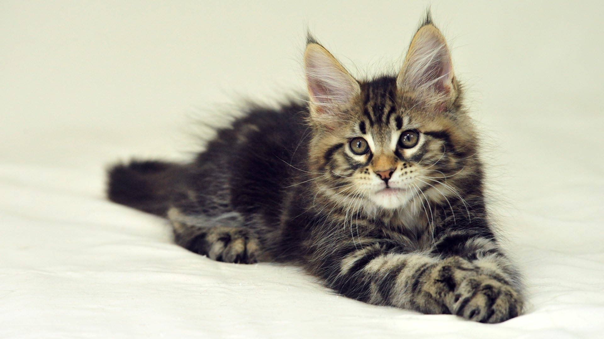 Res: 1920x1080, Maine Coon