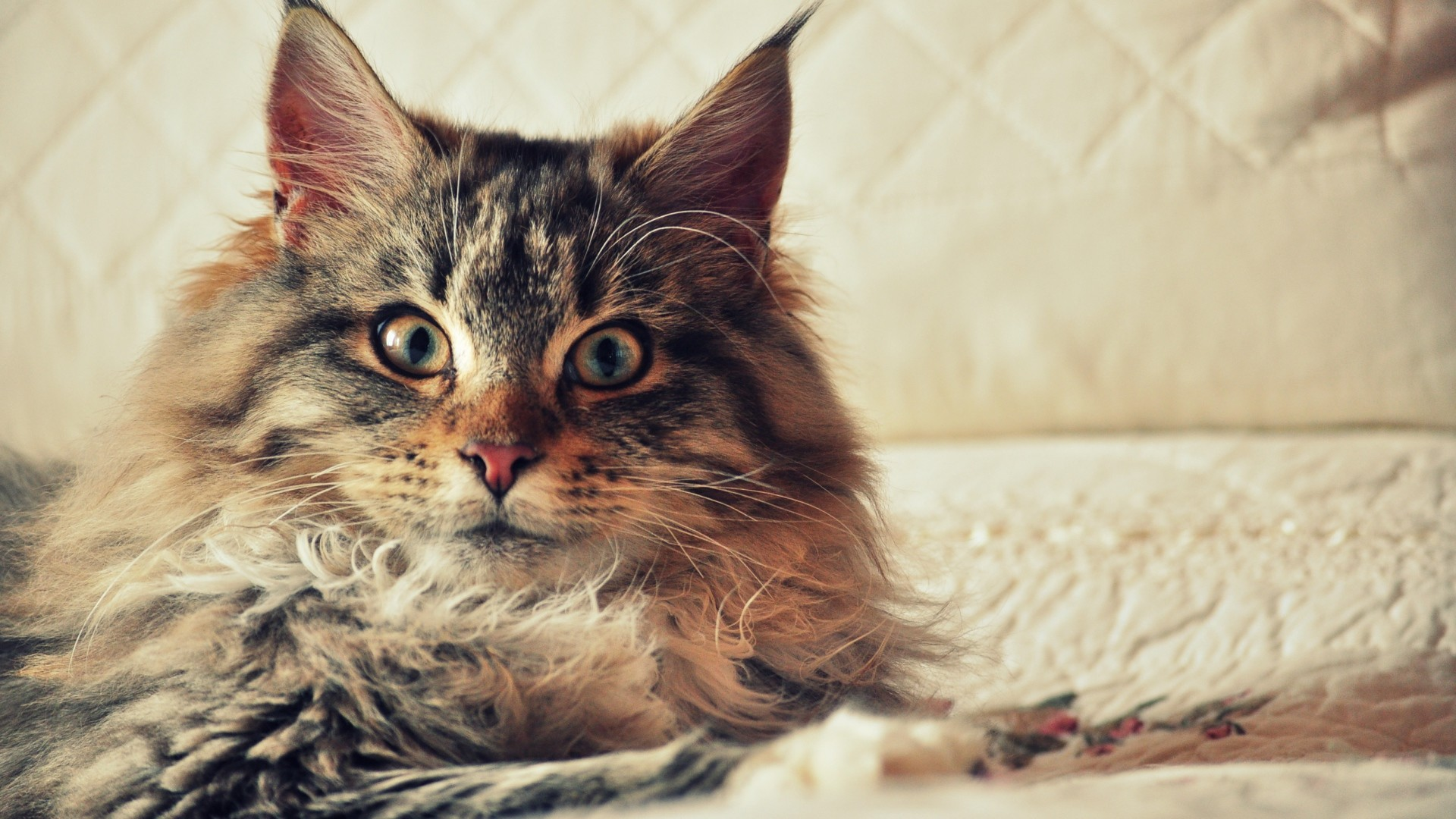 Res: 1920x1080, Maine Coon Wallpaper