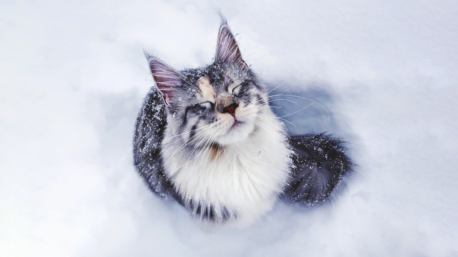 Res: 1920x1080, Maine Coon (i.redd.it)