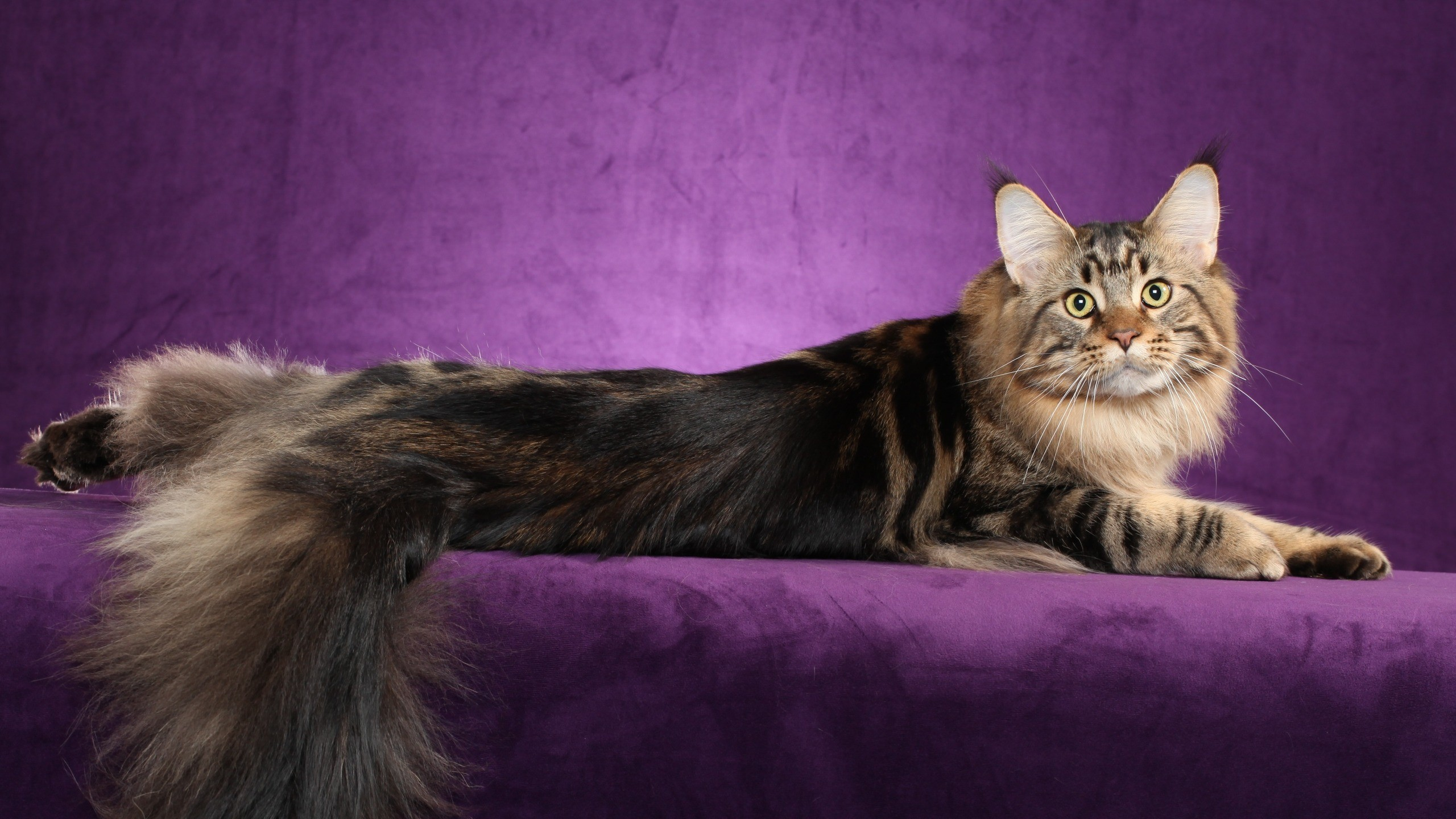 Res: 2560x1440,  Wallpaper maine coon, cat, fluffy, tail