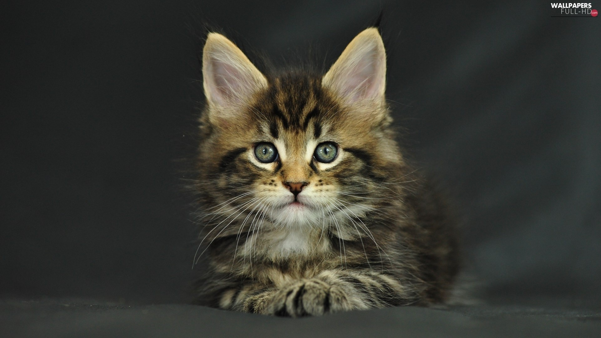 Res: 1920x1080, Maine Coon, kitten
