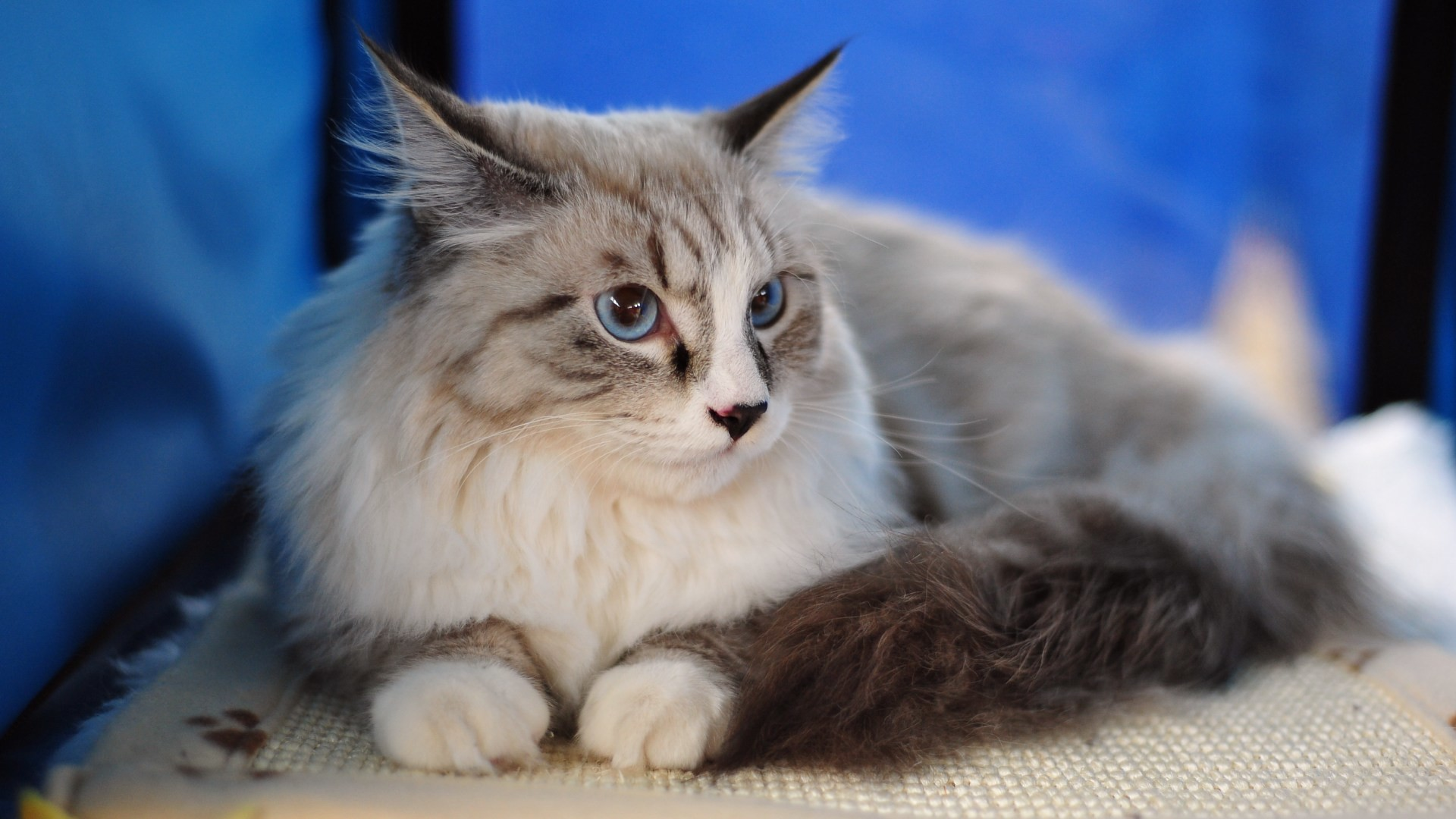 Res: 1920x1080, Maine Coon cat