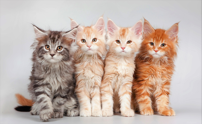 Res: 3000x1852, Maine Coon Kittens HD Wallpaper   Hintergrund      ID:859483 -  Wallpaper Abyss