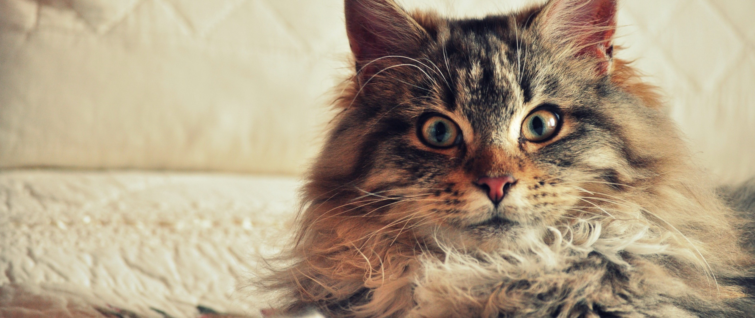 Res: 2560x1080, Maine Coon Wallpaper