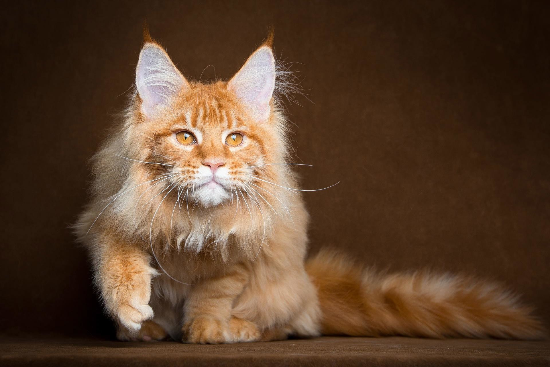 Res: 1920x1280, Maine Coon Wallpaper 17 - 1920 X 1280