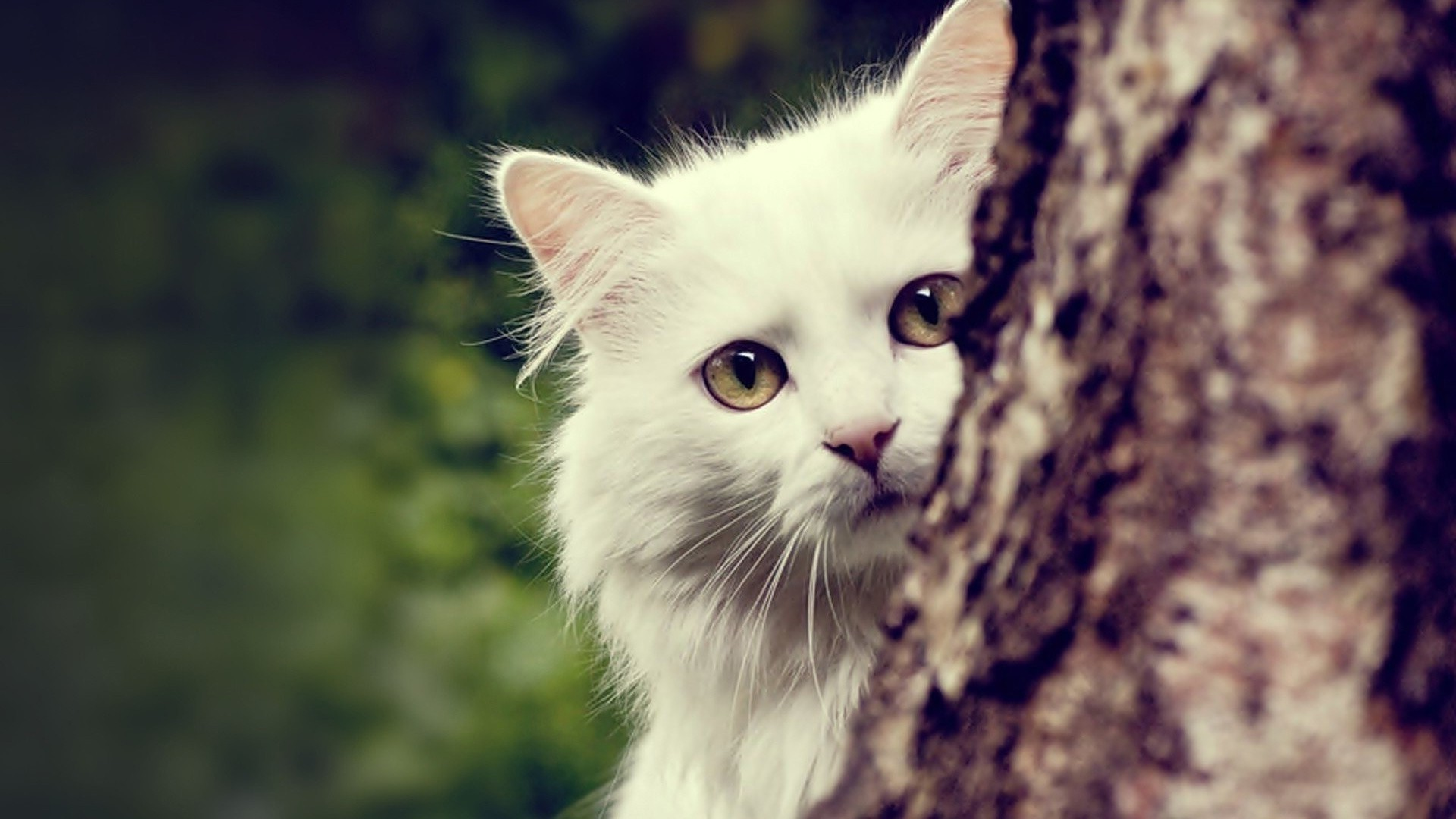Res: 1920x1080,  animals nature cat maine coon wallpaper and background JPG 242 kB