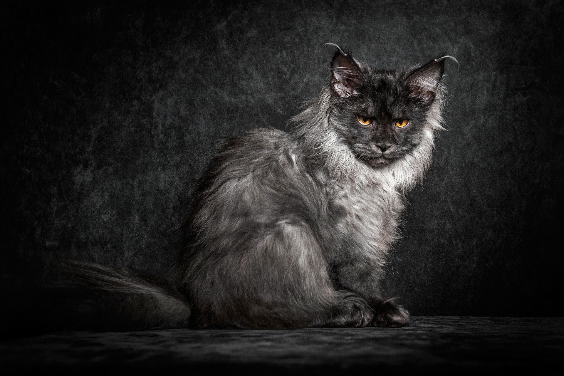Res: 1920x1280, Maine Coon HD Wallpaper 27 - 1920 X 1280