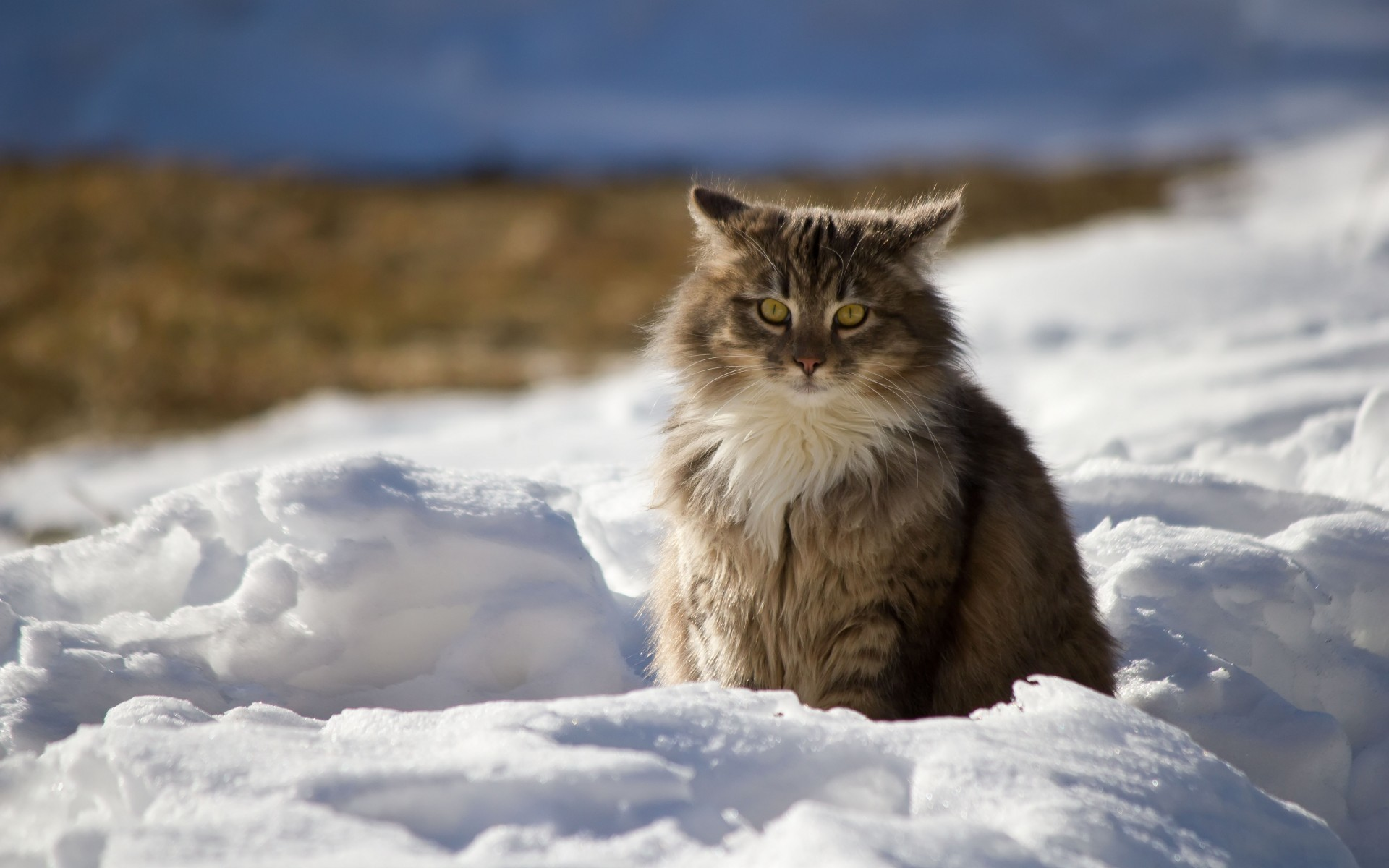 Res: 1920x1200, Maine Coon, Fluffy Cat, Snow, Sit