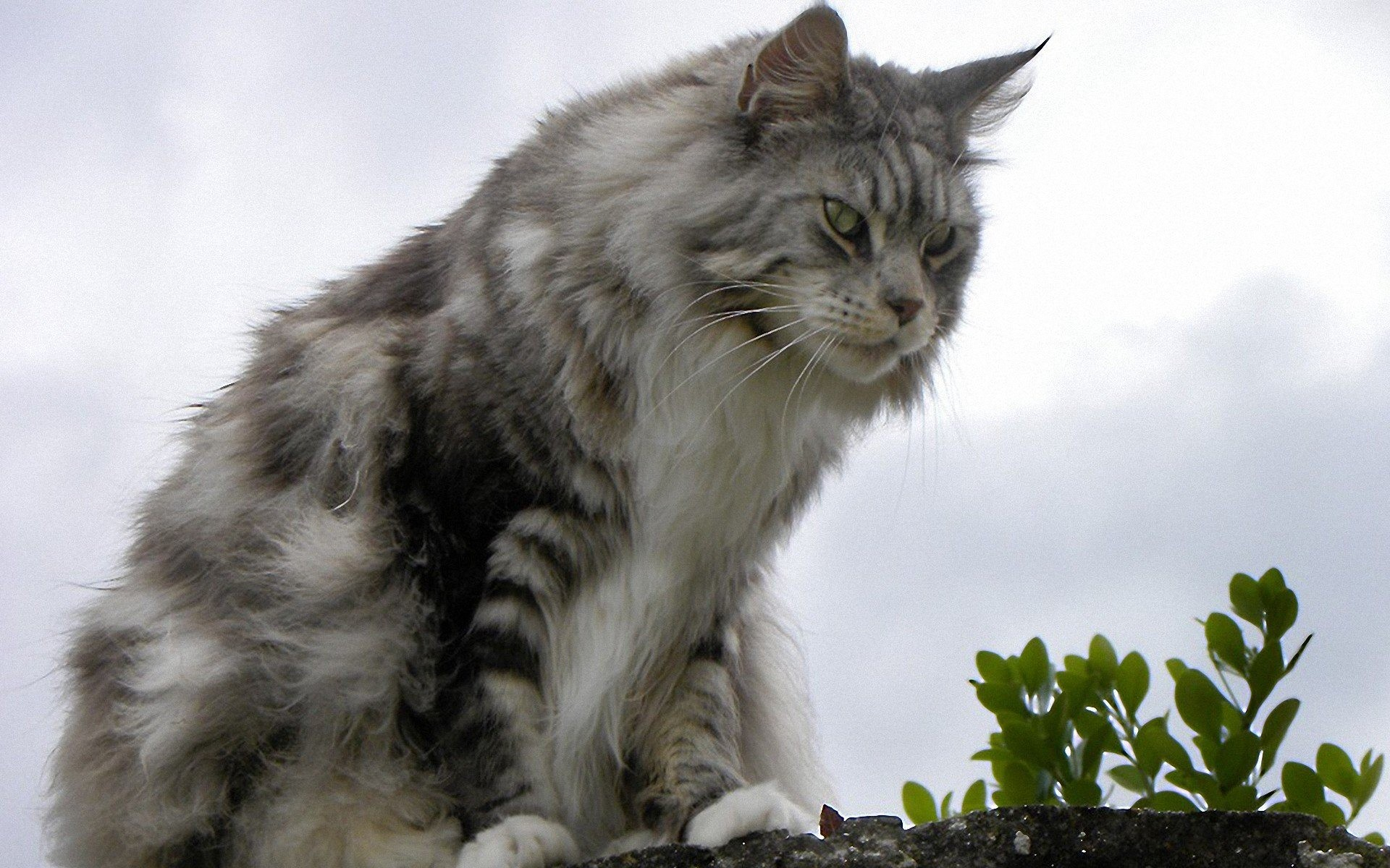 Res: 1920x1200, maine coon wallpaper #765818