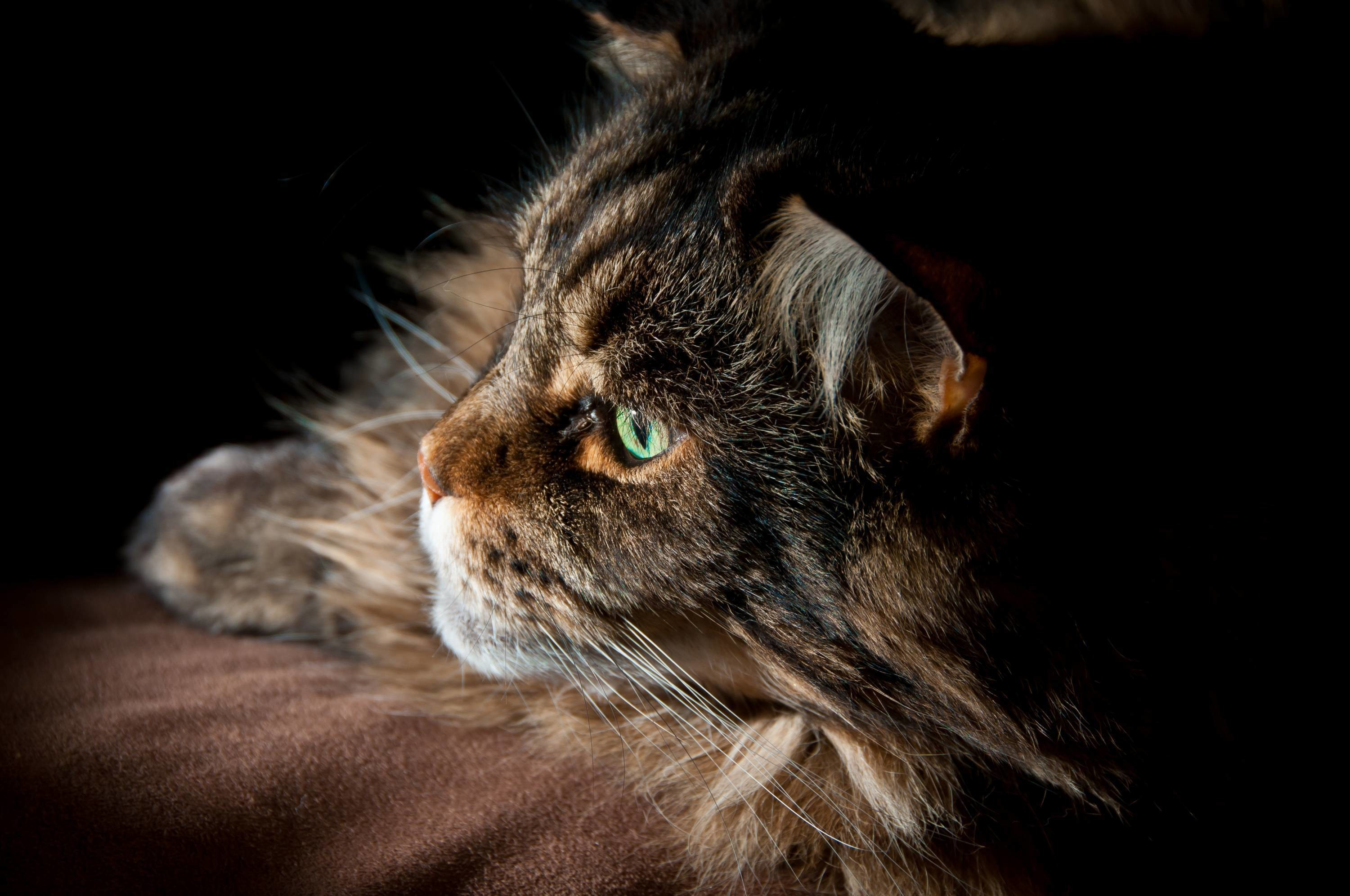 Res: 3001x1993, Maine Coon Wallpapers Wallpaper Cave