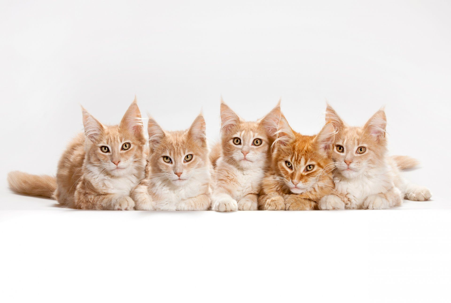 Res: 1920x1289, maine coon cats cat horses white background HD wallpaper for computer or  android device
