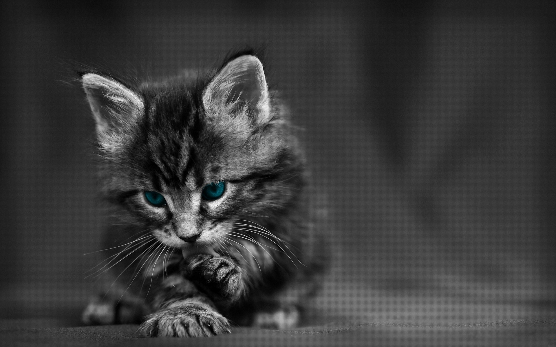 Res: 1920x1200, Maine Coon, kitten, gray cat, fluffy cat, blue eyes, cute animals