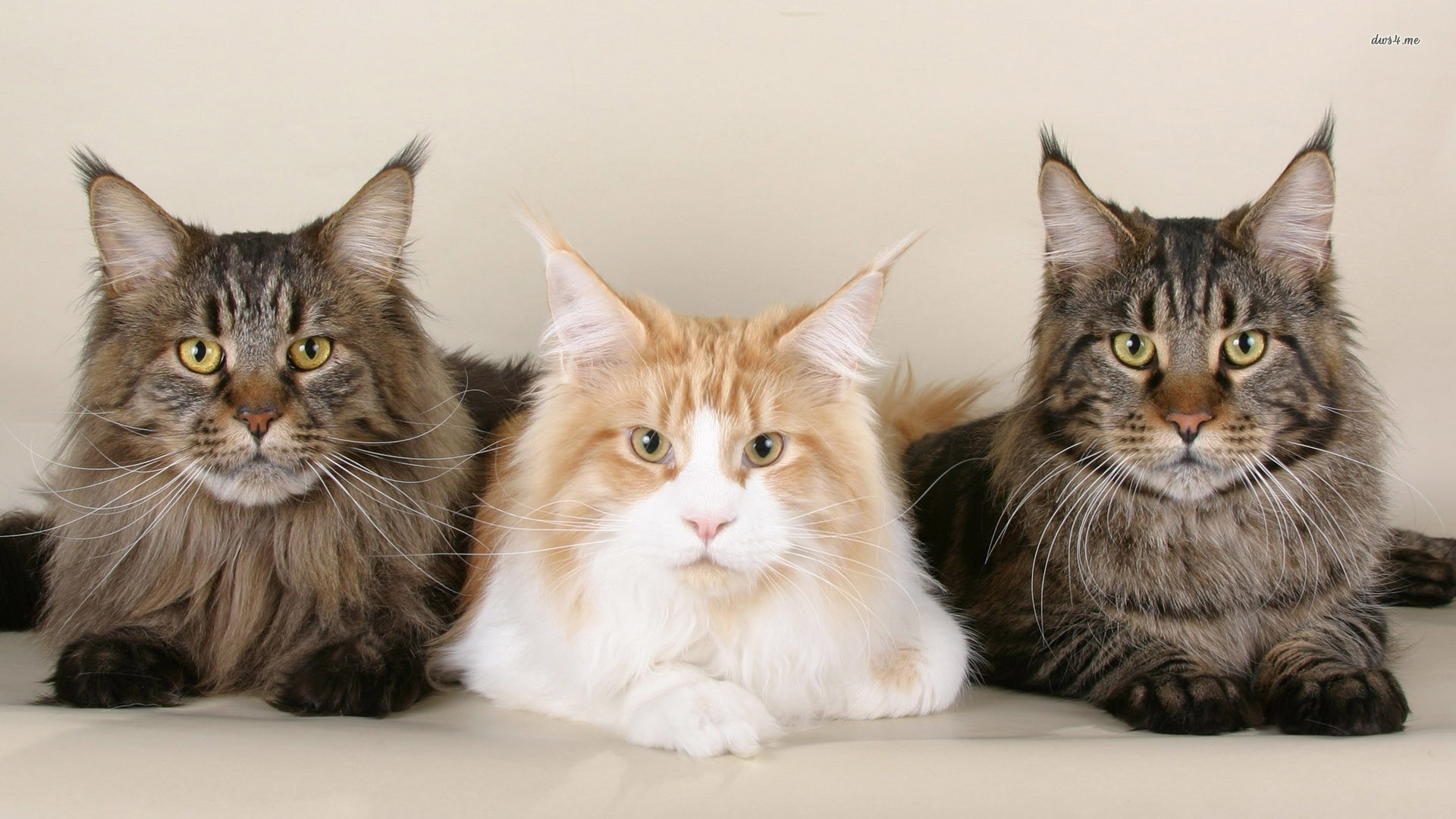Res: 1920x1080, ... Maine coon cats wallpaper  ...