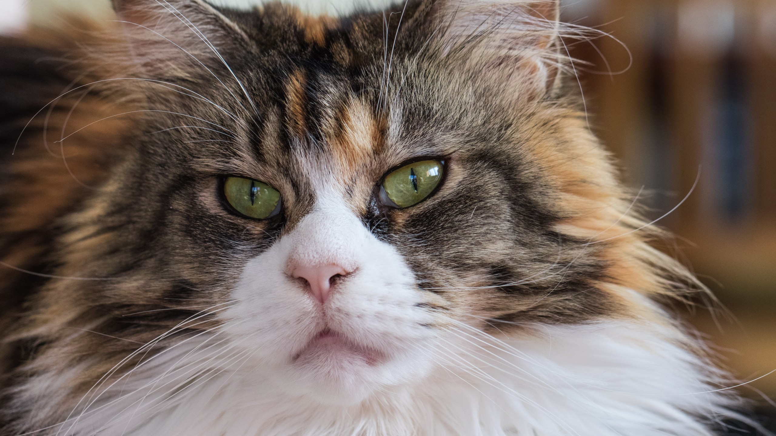 Res: 2560x1440, Maine Coon, Fluffy, Gaze, Muzzle, Cats
