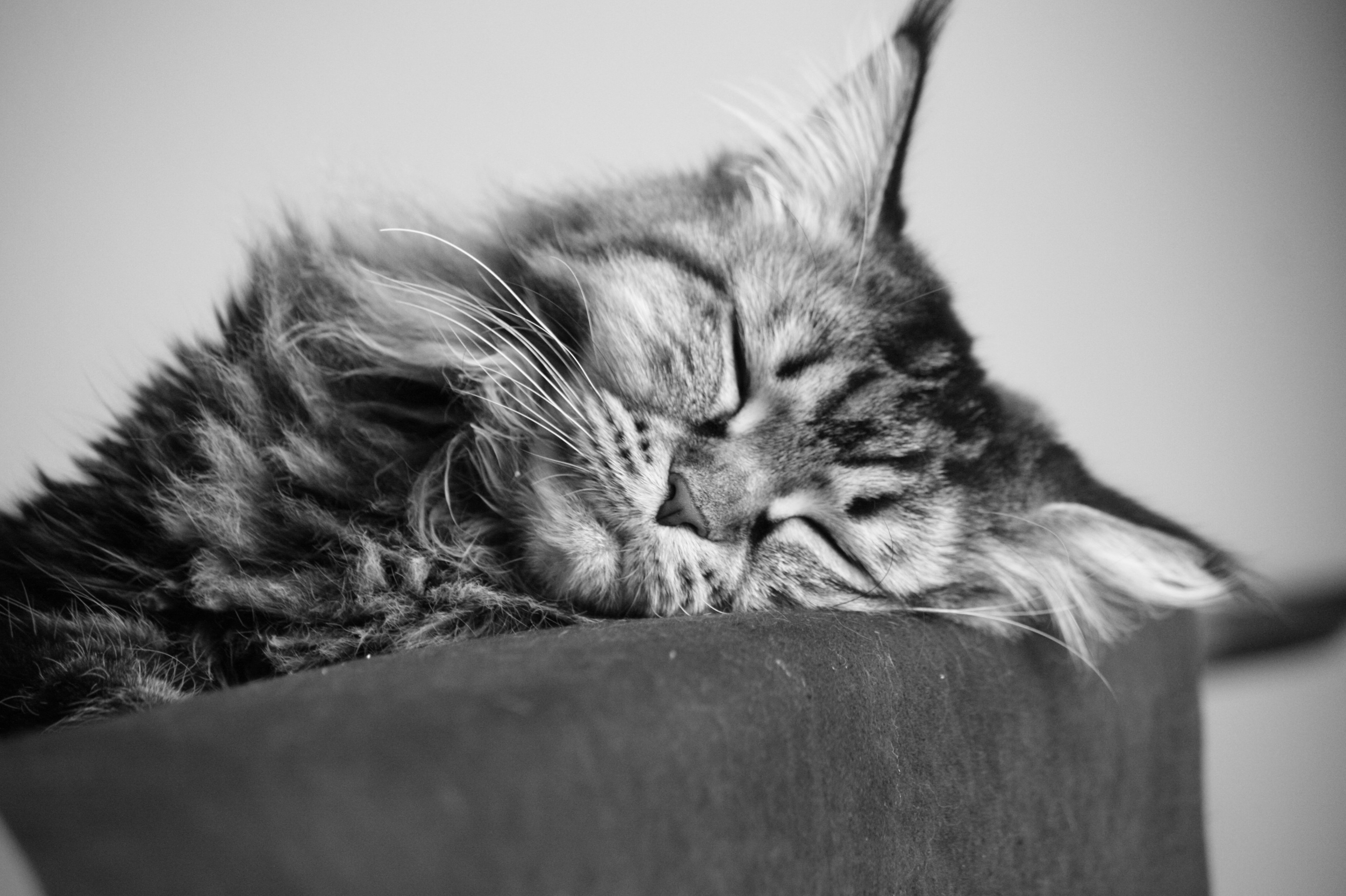 Res: 3088x2056, A young Maine Coon cat sleeping, black-and-white photo wallpapers and  images - wallpapers, pictures, photos