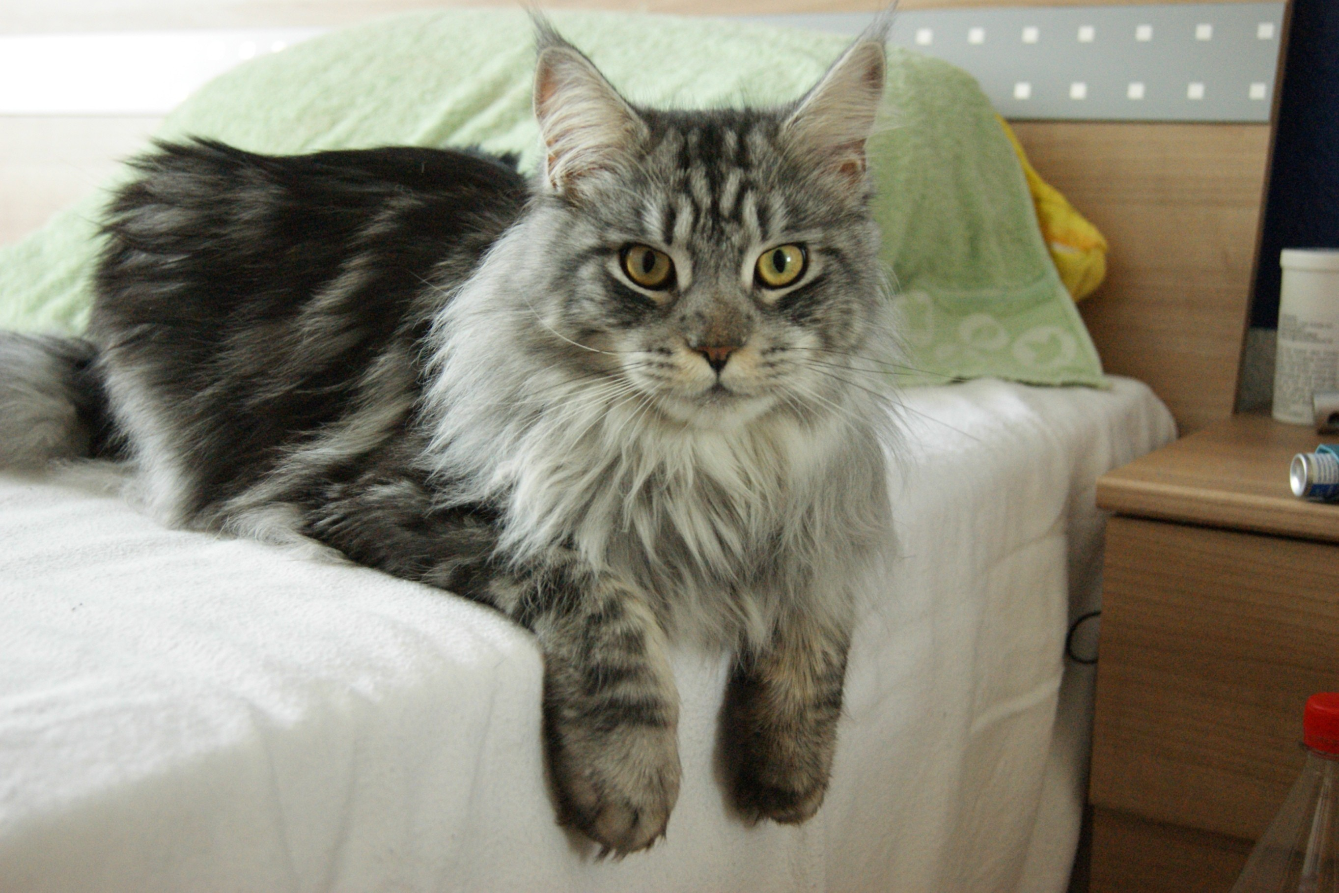 Res: 2726x1818, Maine Coon on a sofa photo