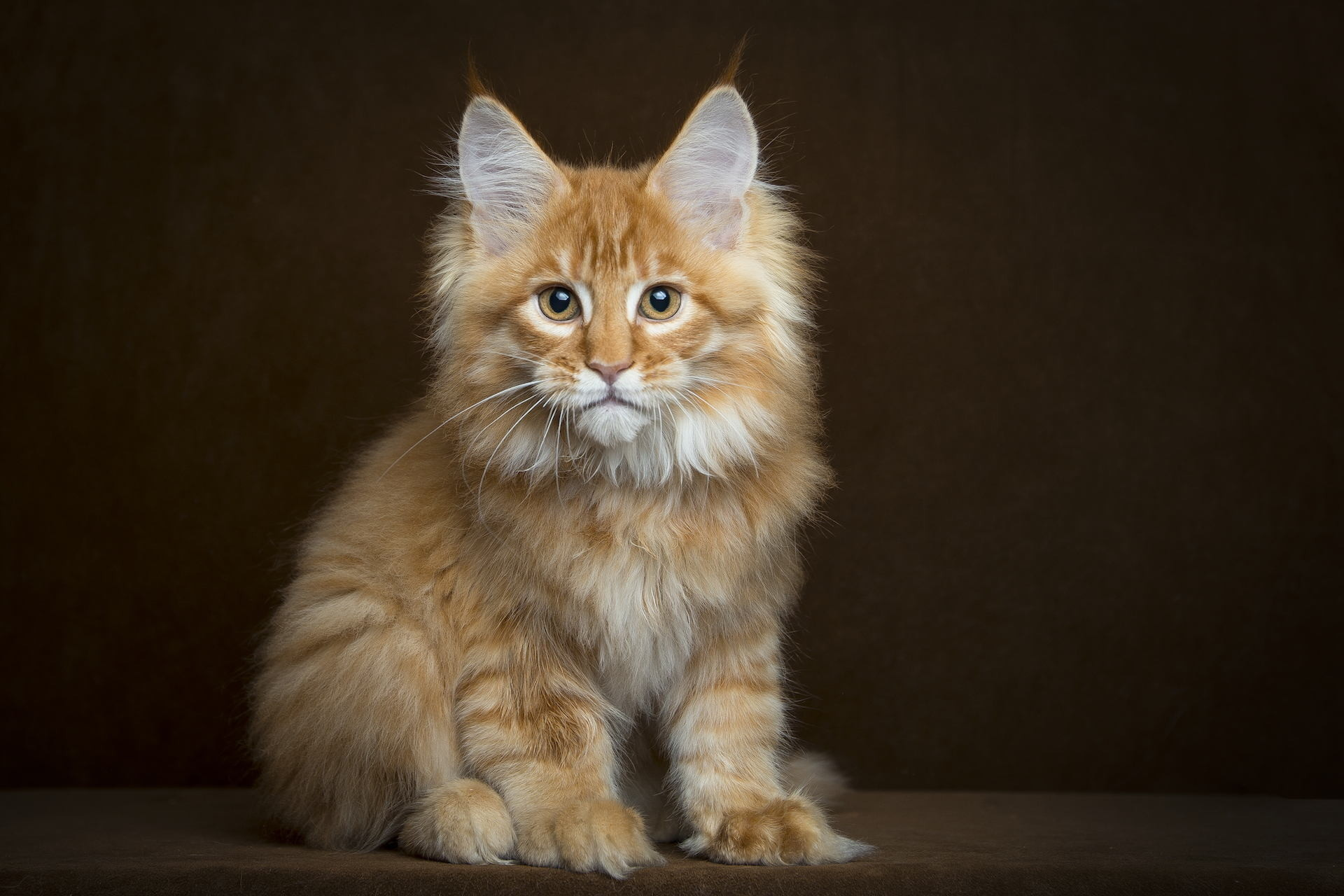 Res: 1920x1280, Maine Coon Kitten Fluffy View - Free Stock Photos, Images, HD Wallpaper