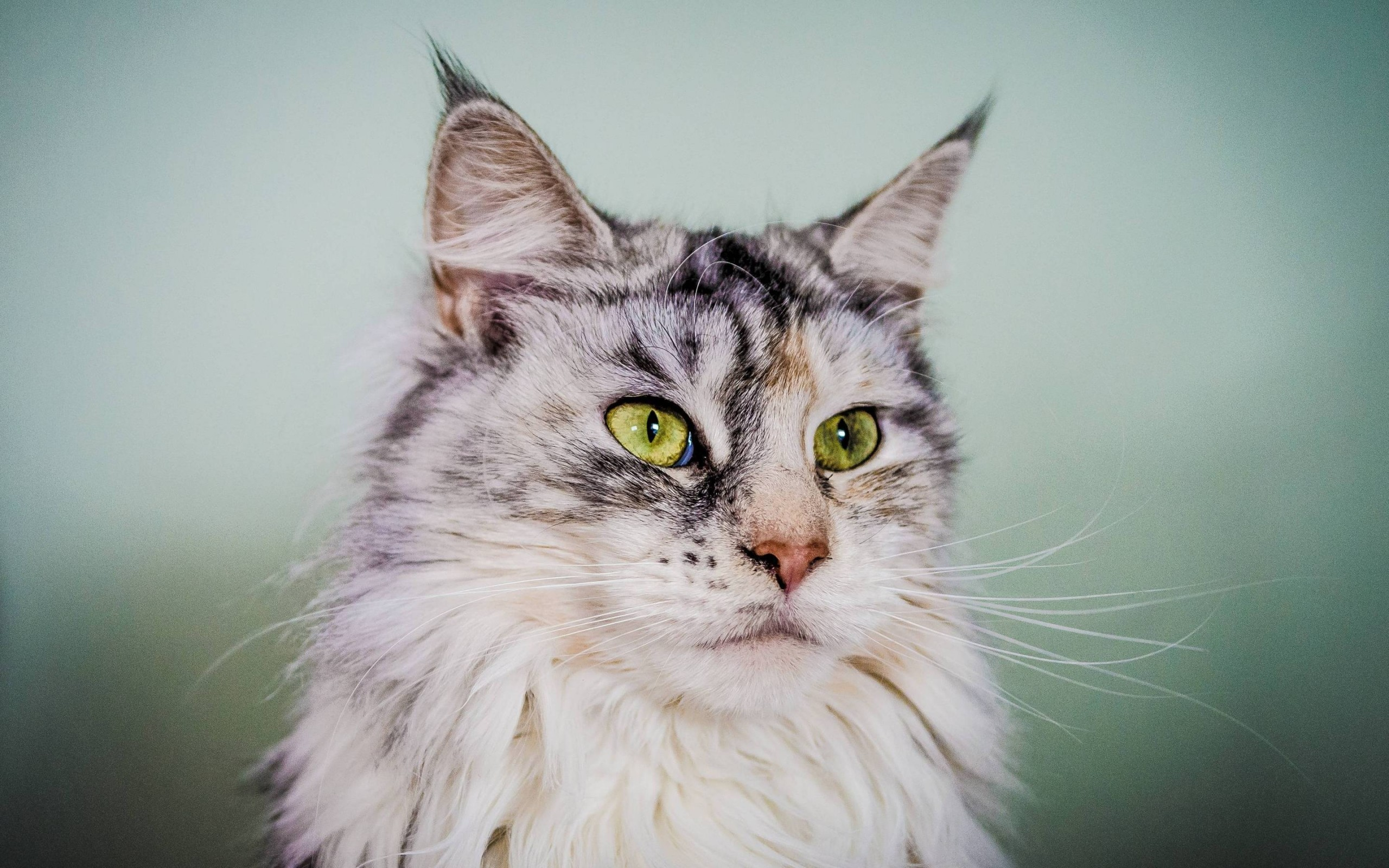 Res: 2560x1600, Silver Maine Coon Cat with Green Eyes Wallpaper