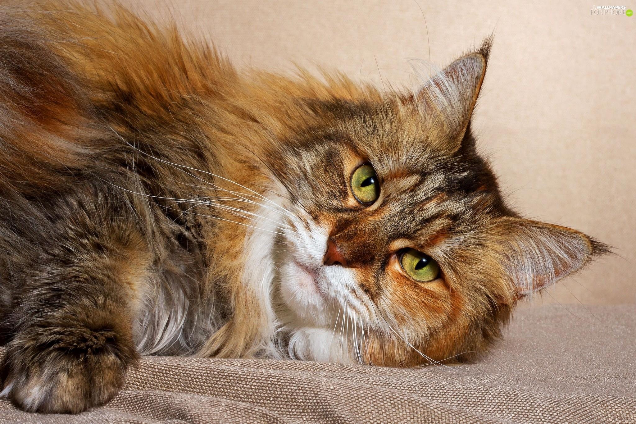 Res: 2048x1365, cat, lying, Maine Coon