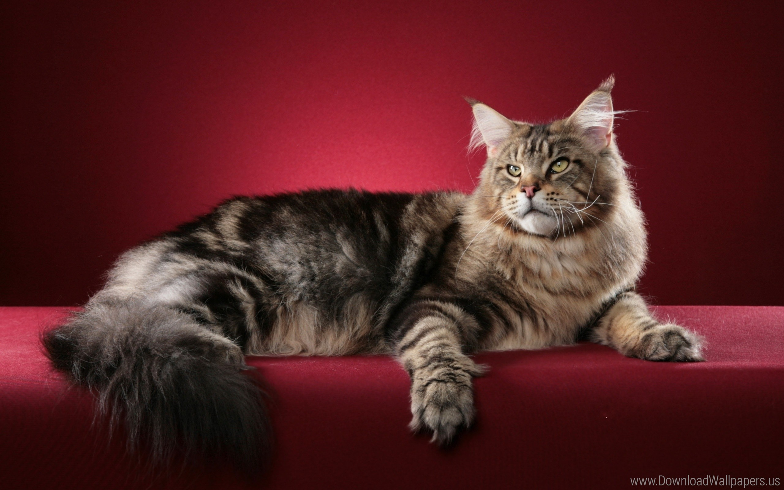Res: 2560x1600, ... Fluffy, Maine Coon Wallpaper. Download Original Size ()