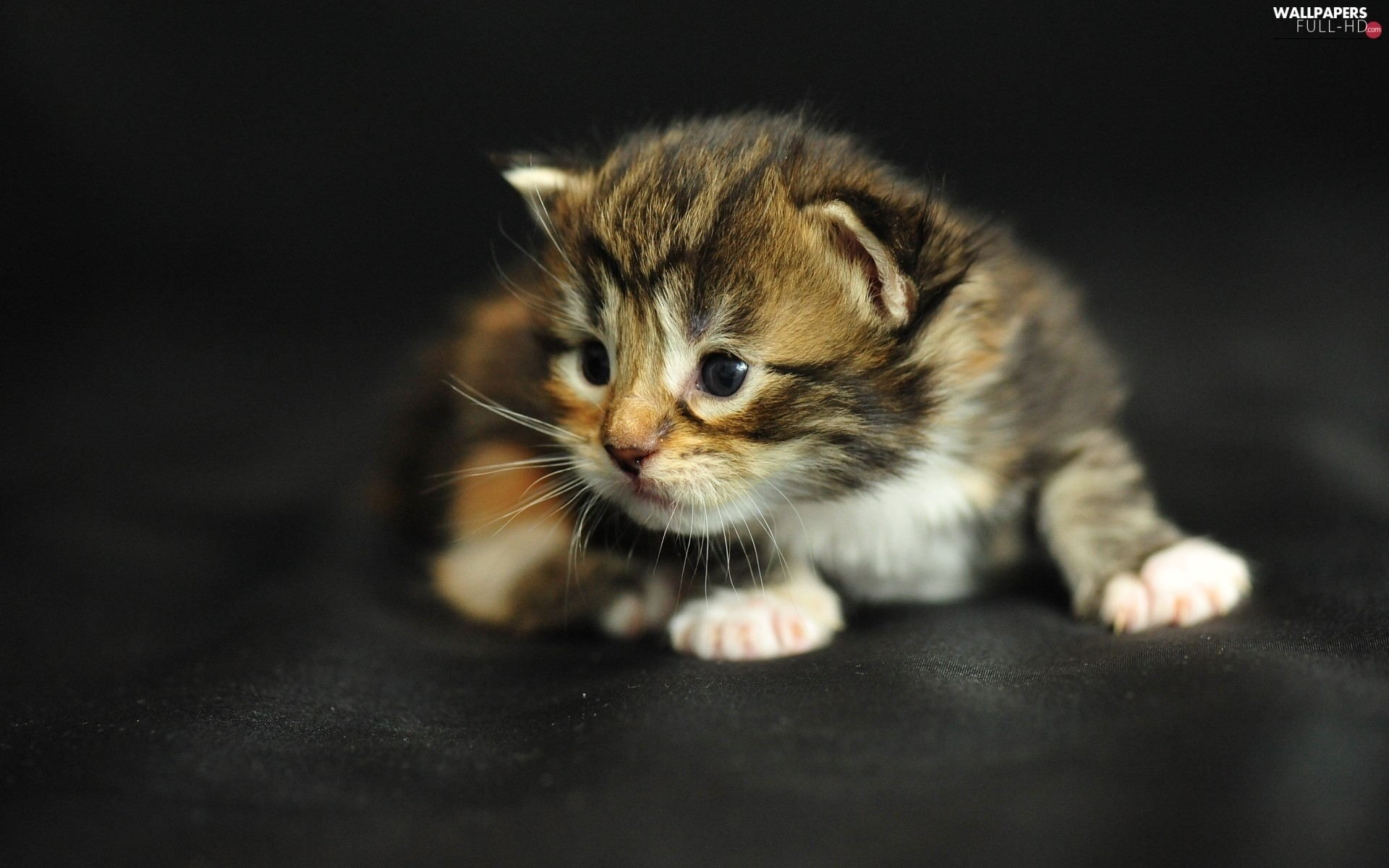 Res: 1920x1200, kitten, Maine Coon, honeyed
