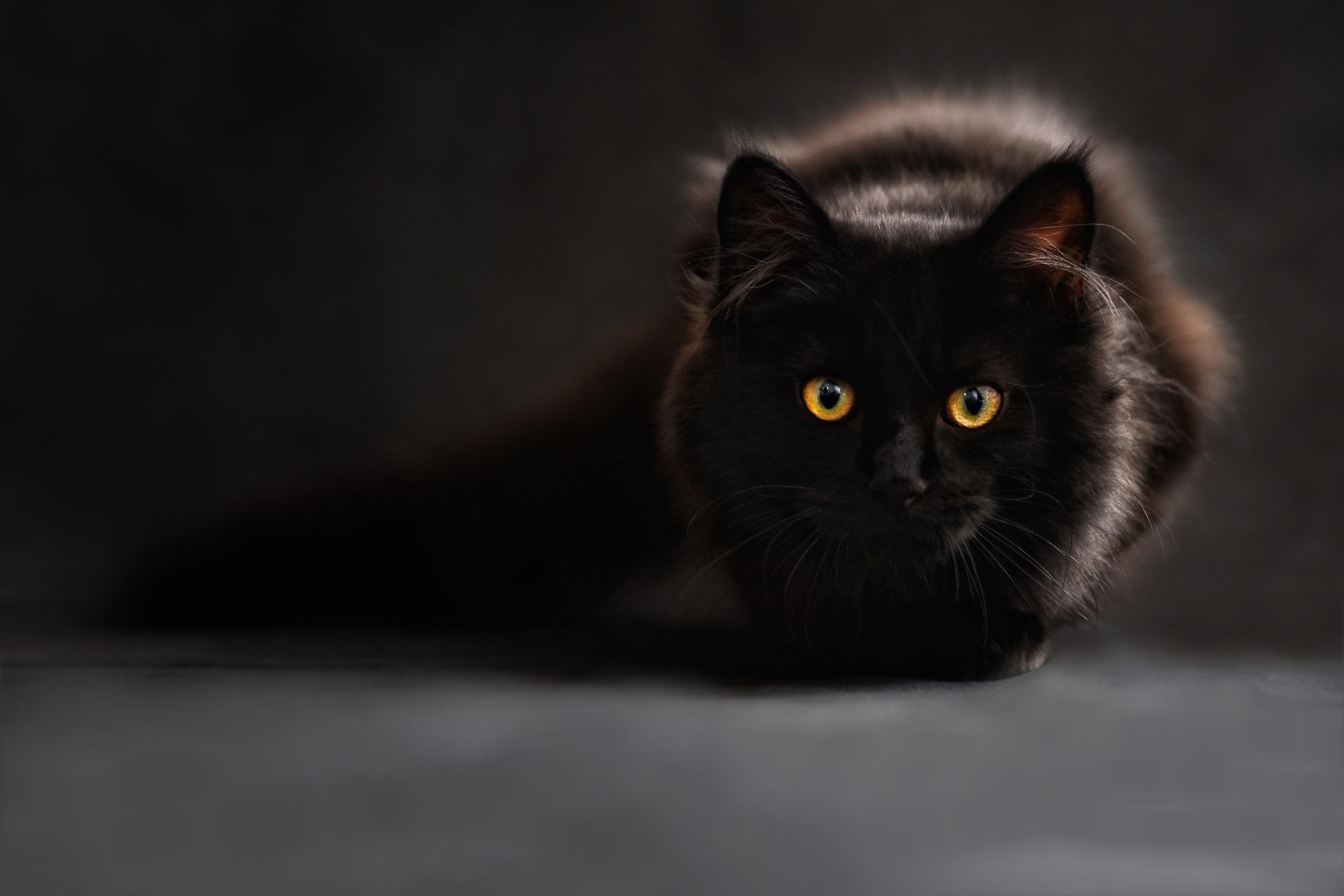 Res: 3235x2157, Katze, schwarz, Maine Coon, Augen, sieht aus