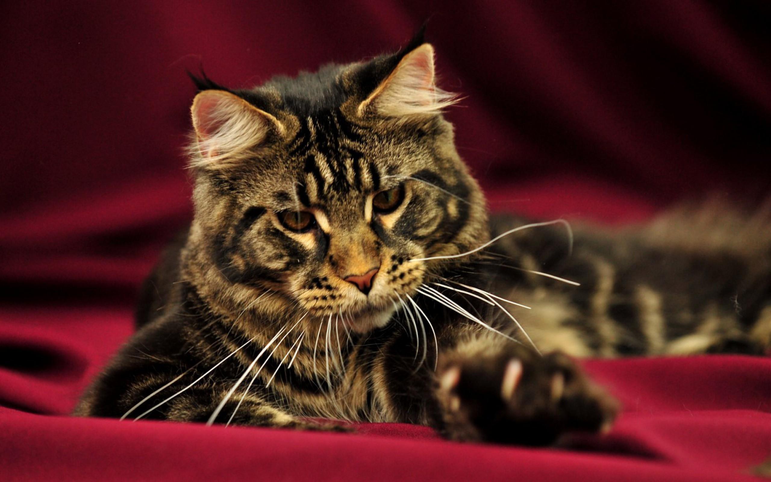 Res: 2560x1600, Maine-Coon-Katzen hochauflösende Wallpaper schöne Bilder Hintergrund  Desktop-Breitbild