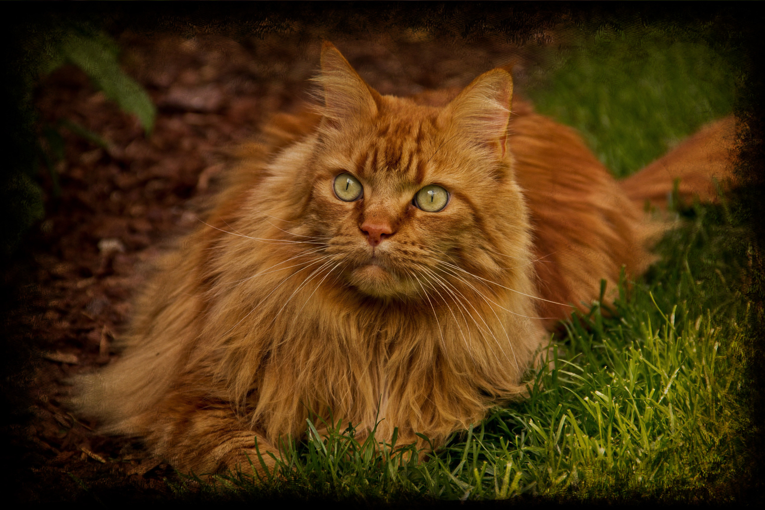 Res: 2592x1728, Beautiful Maine Coon Cat Images Gallery