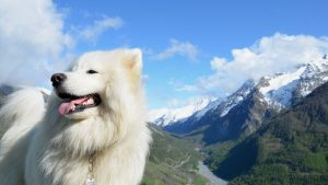 Samoyed wallpapers
