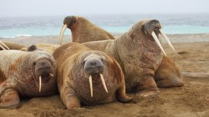 Walrus wallpapers