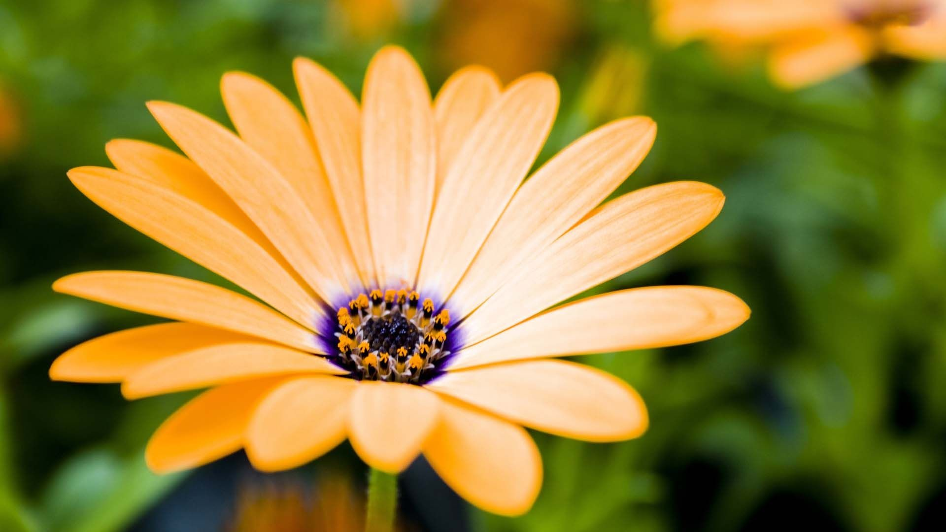 Res: 1920x1080, Cream Colored Daisy | HD Flowers Wallpaper Free Download ...