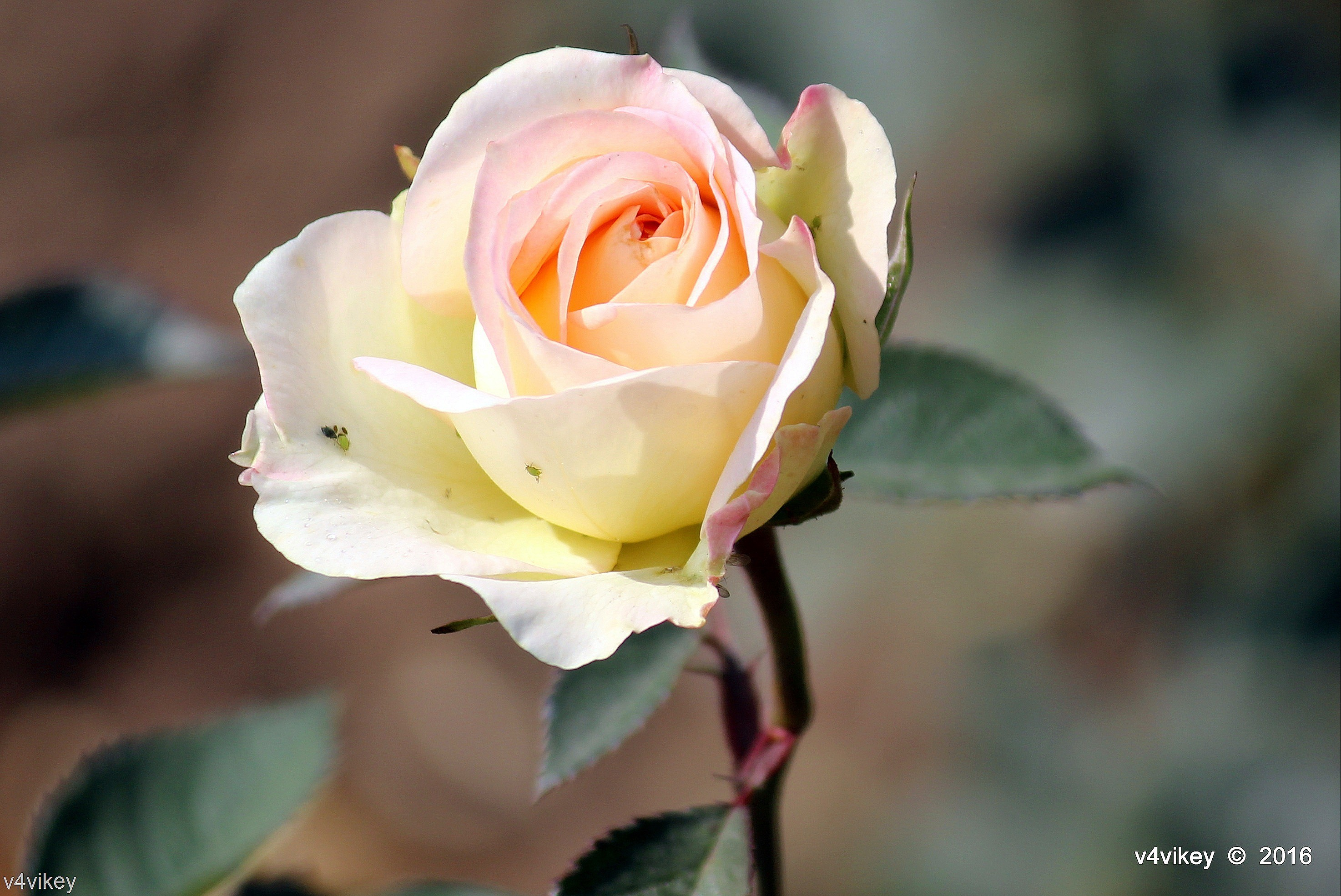Res: 2948x1971, Wallpaper of Cream Color Roses