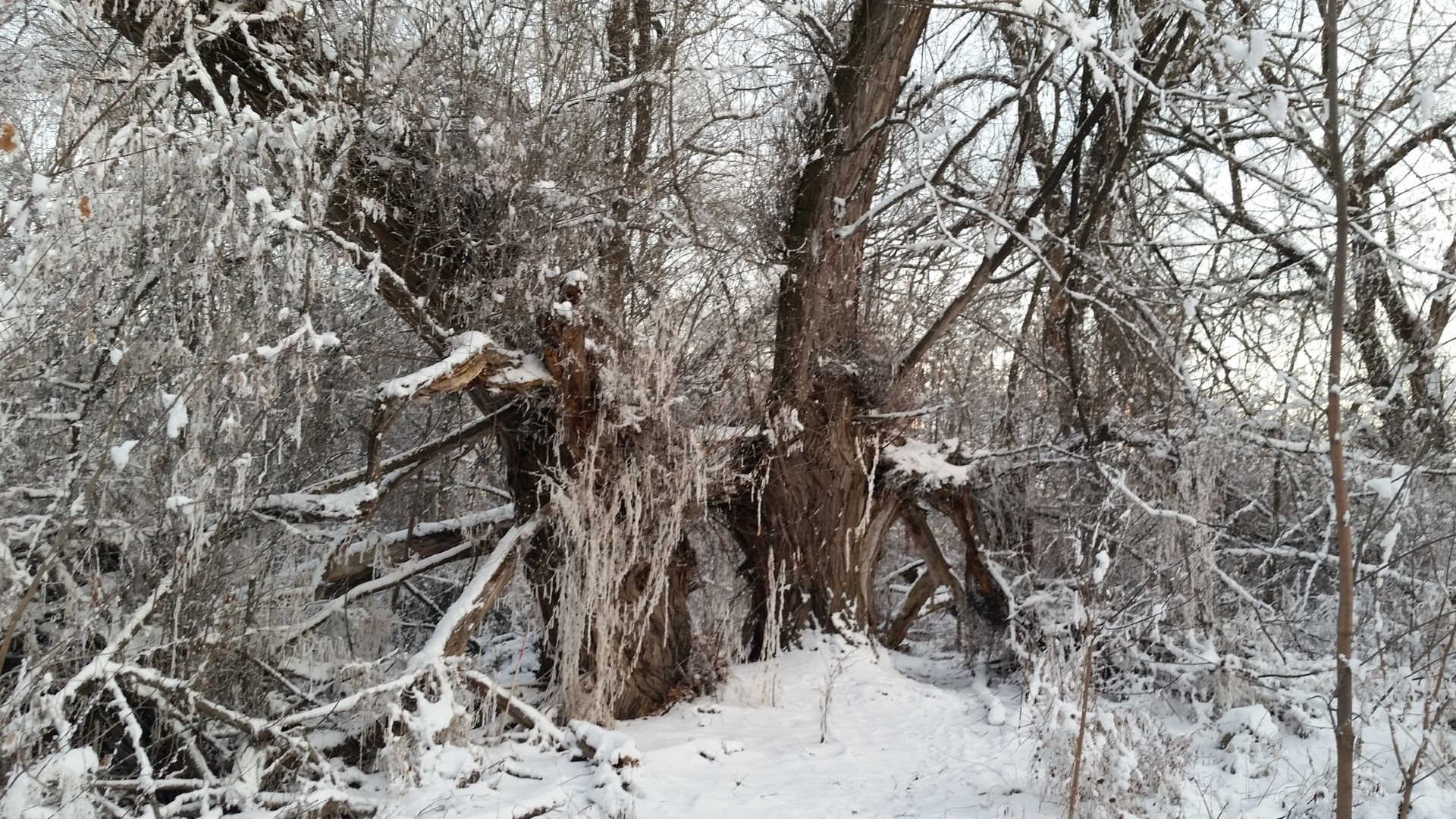Res: 1920x1080, Old Snowy Tree [] ...