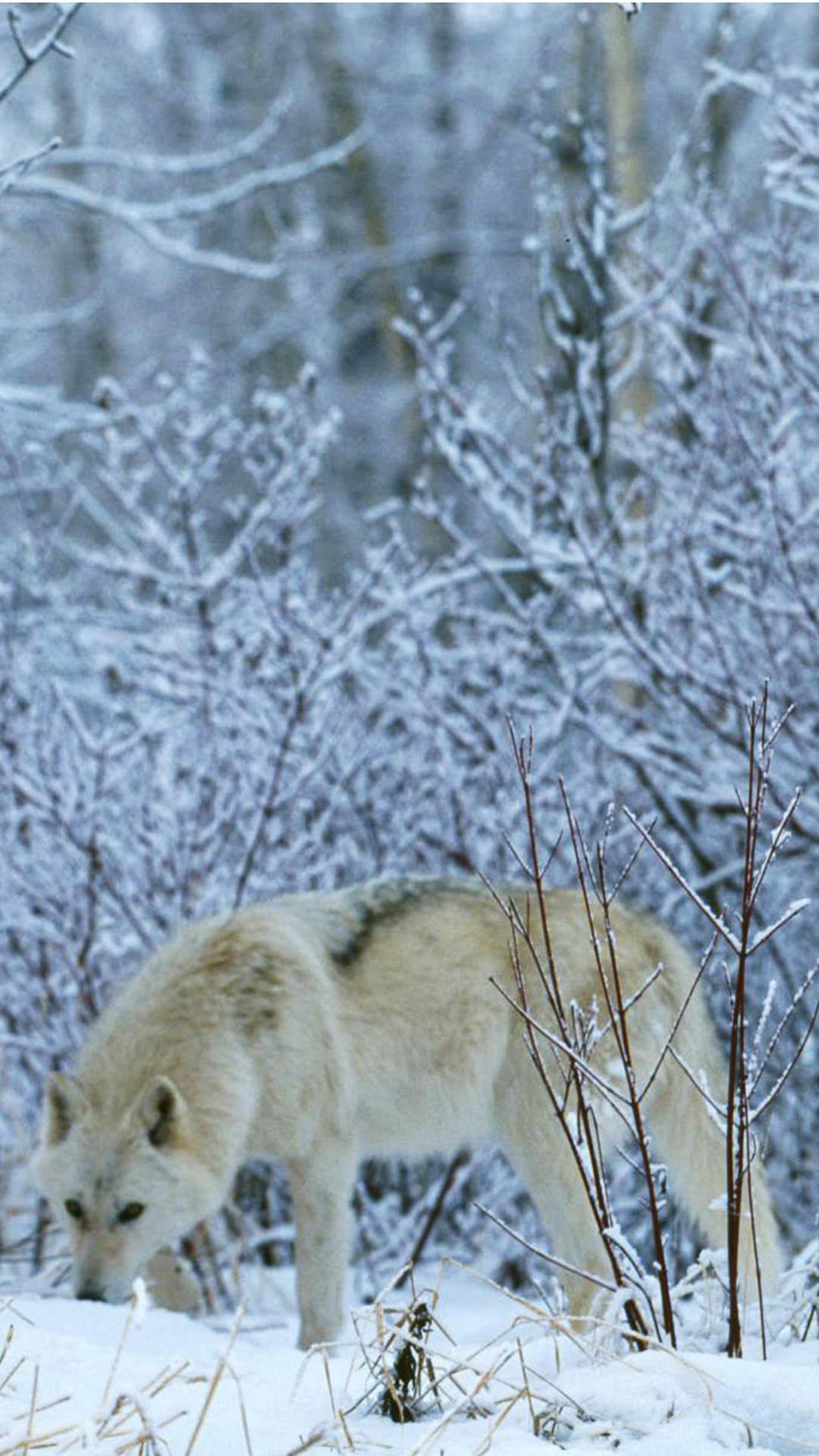 Res: 1080x1920, Wolf Snow Wallpapers