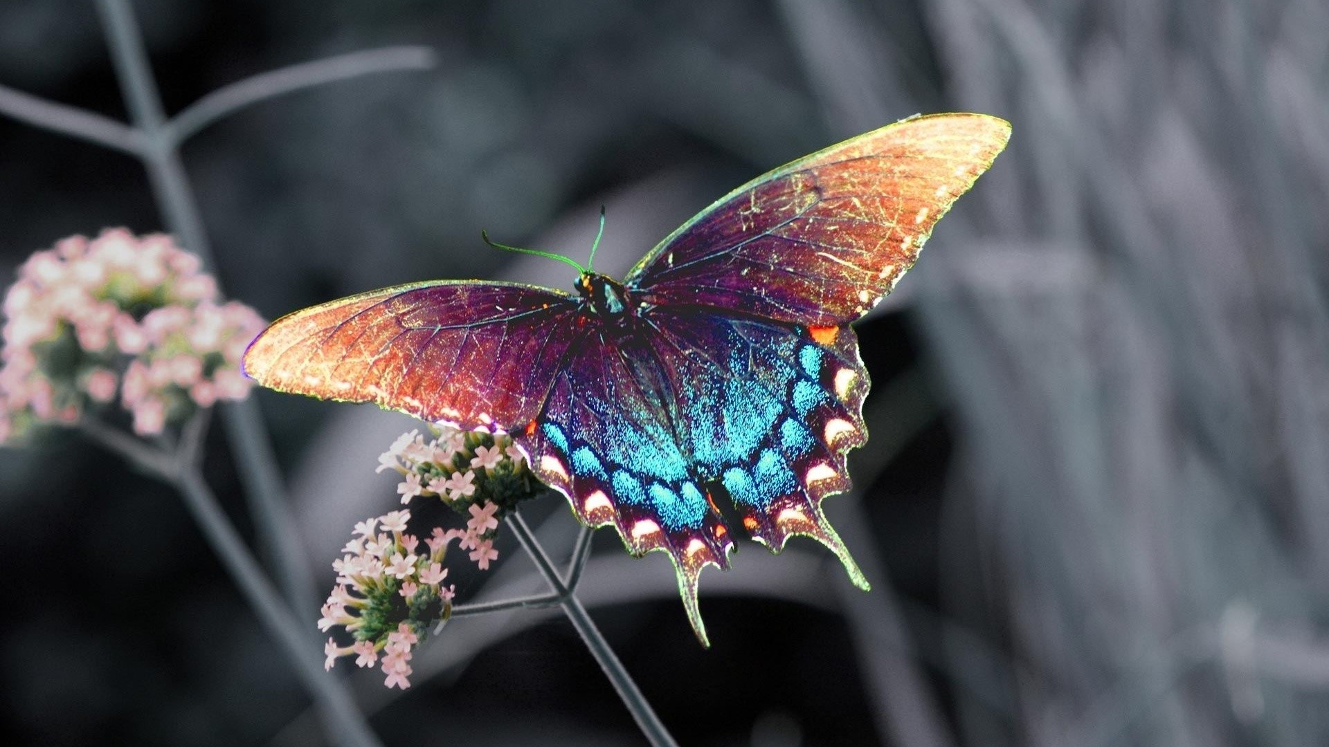Res: 1920x1080, Butterfly Hd Wallpaper High Quality Resolution For Iphone Full Hd..