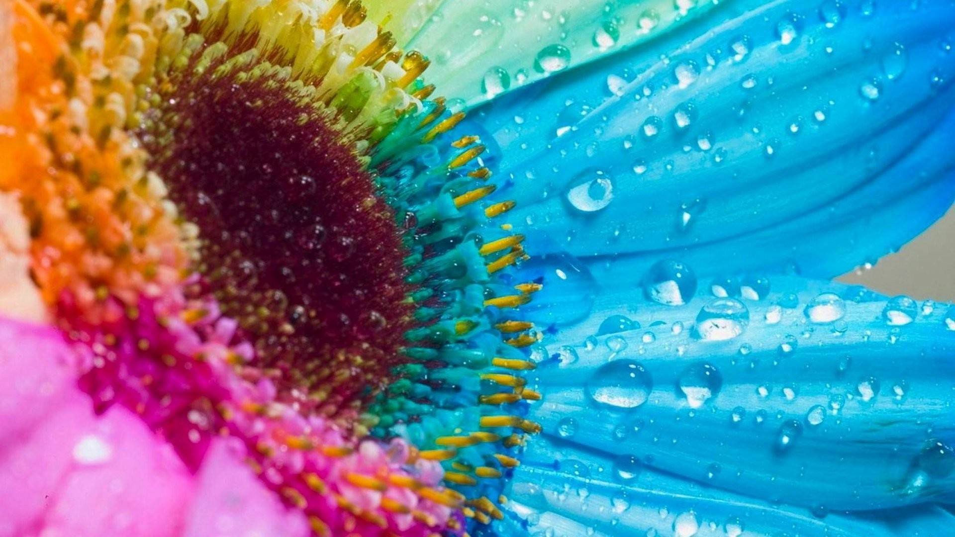 Res: 1920x1080, Projects Ideas Rainbow Colored Flowers Perfect Decoration HD Macro Download  Hd Wallpaper Flower