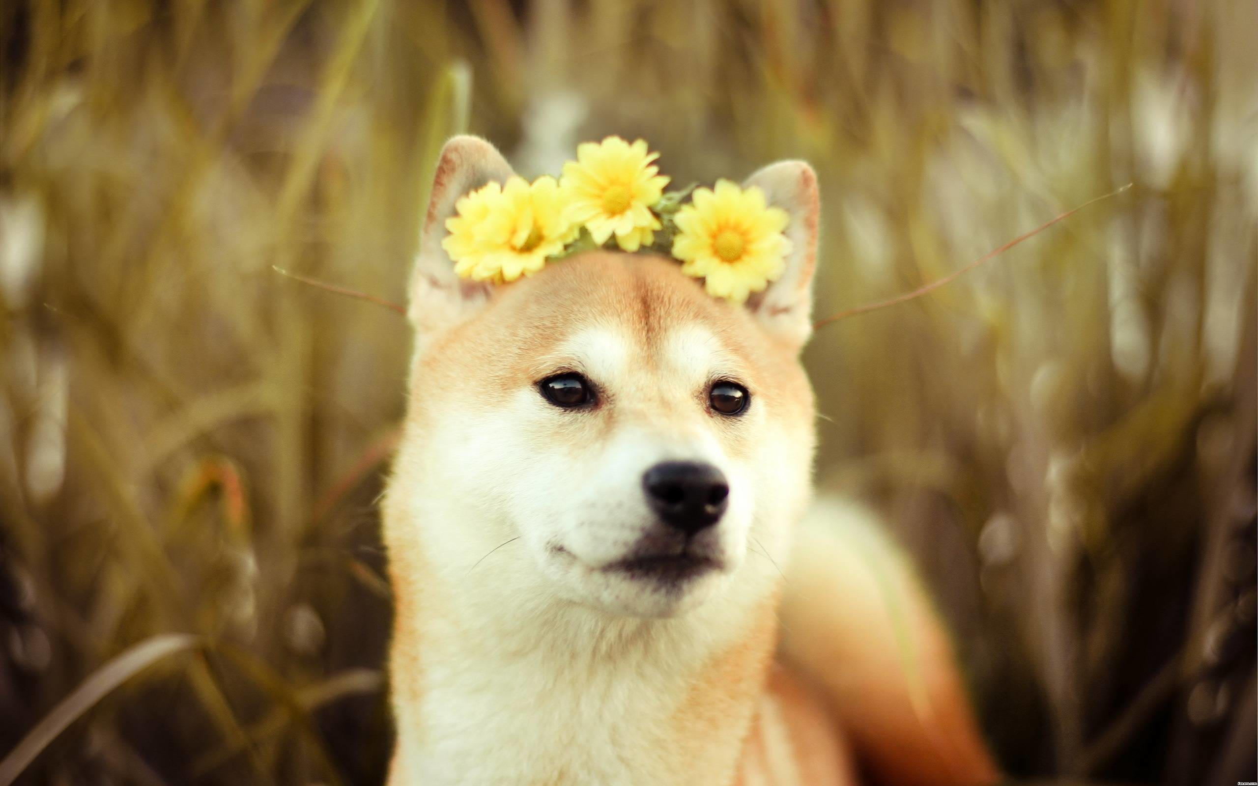 Res: 2560x1600, Doge Wallpapers High Quality