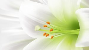 Easter Lilies wallpapers