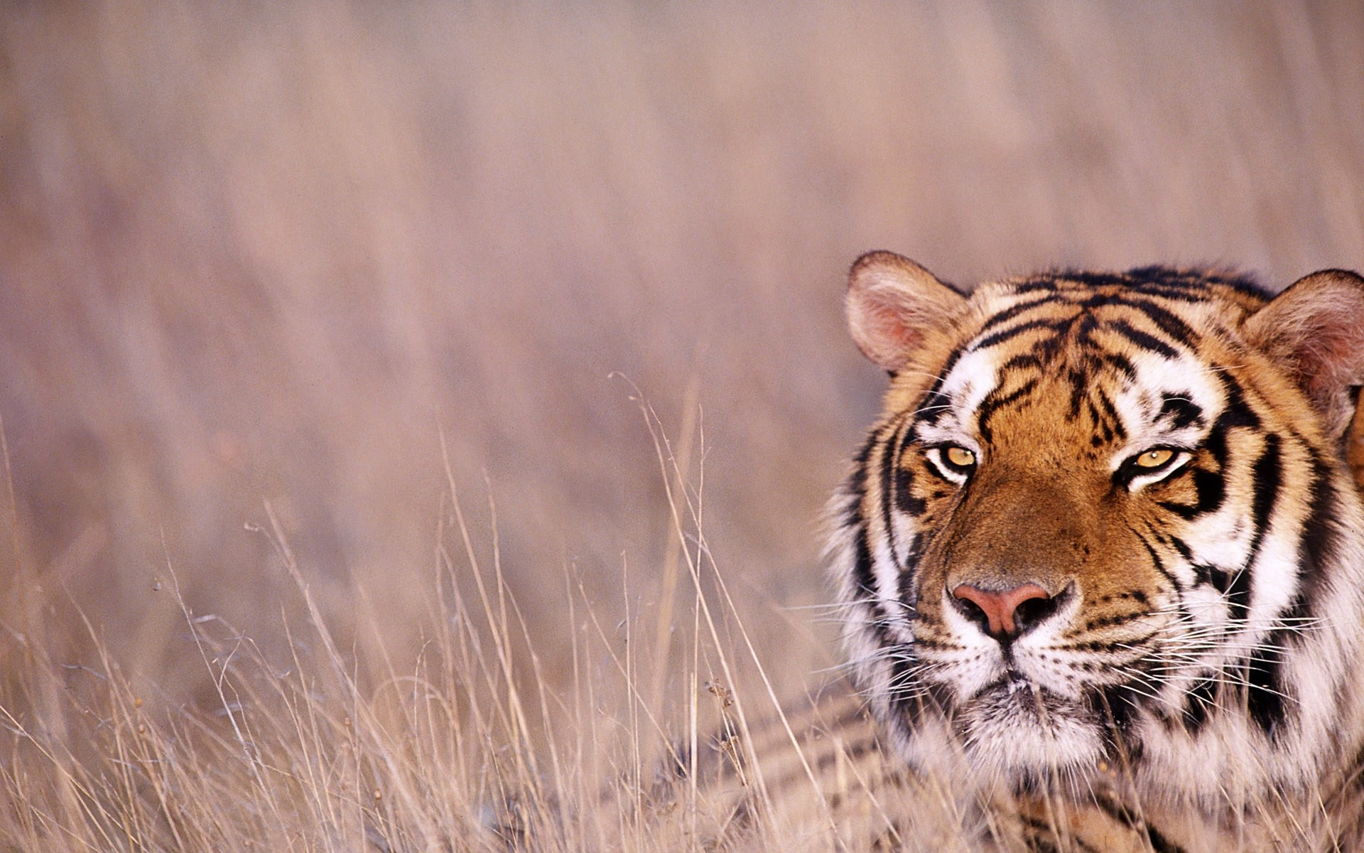 Res: 1920x1200, Asian tiger in forest latest desktop wallpapers
