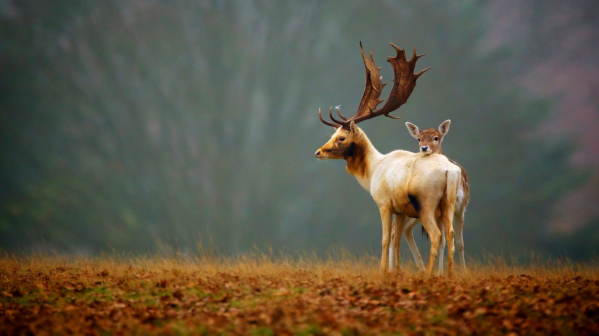 "Res: 1920x1080, ""Download Deers Baby Big Horns HD wallpaper and widescreen HD background  for desktop backgrounds with  resolution, wallpaper in high  resolution for ..."