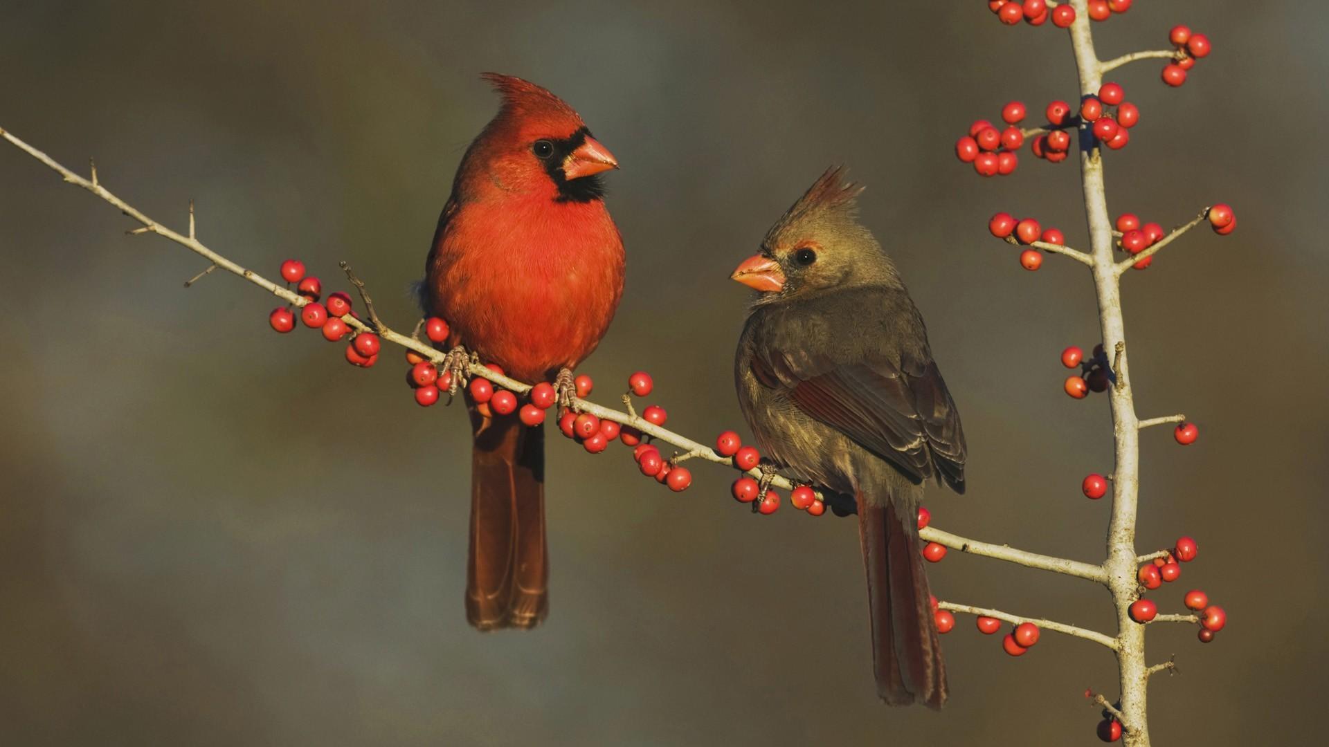 Res: 1920x1080, 7. louisville-cardinals-wallpaper-HD7-600x338