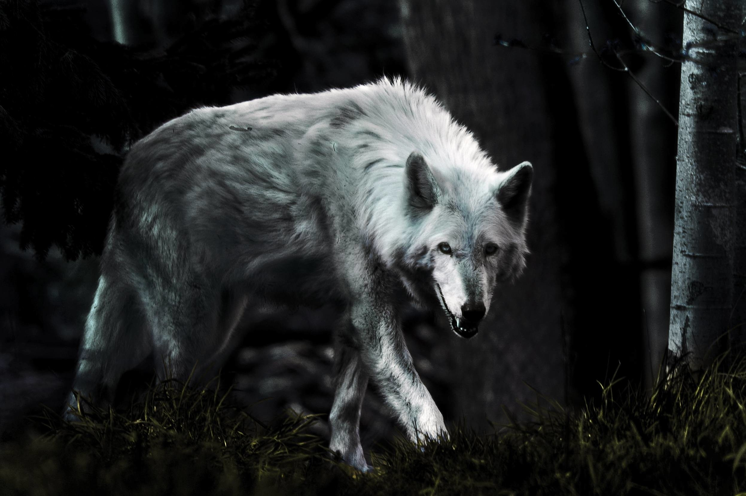 Res: 2494x1658,  dark wolf hd photo wallpaper hd wallpaperswallforu com