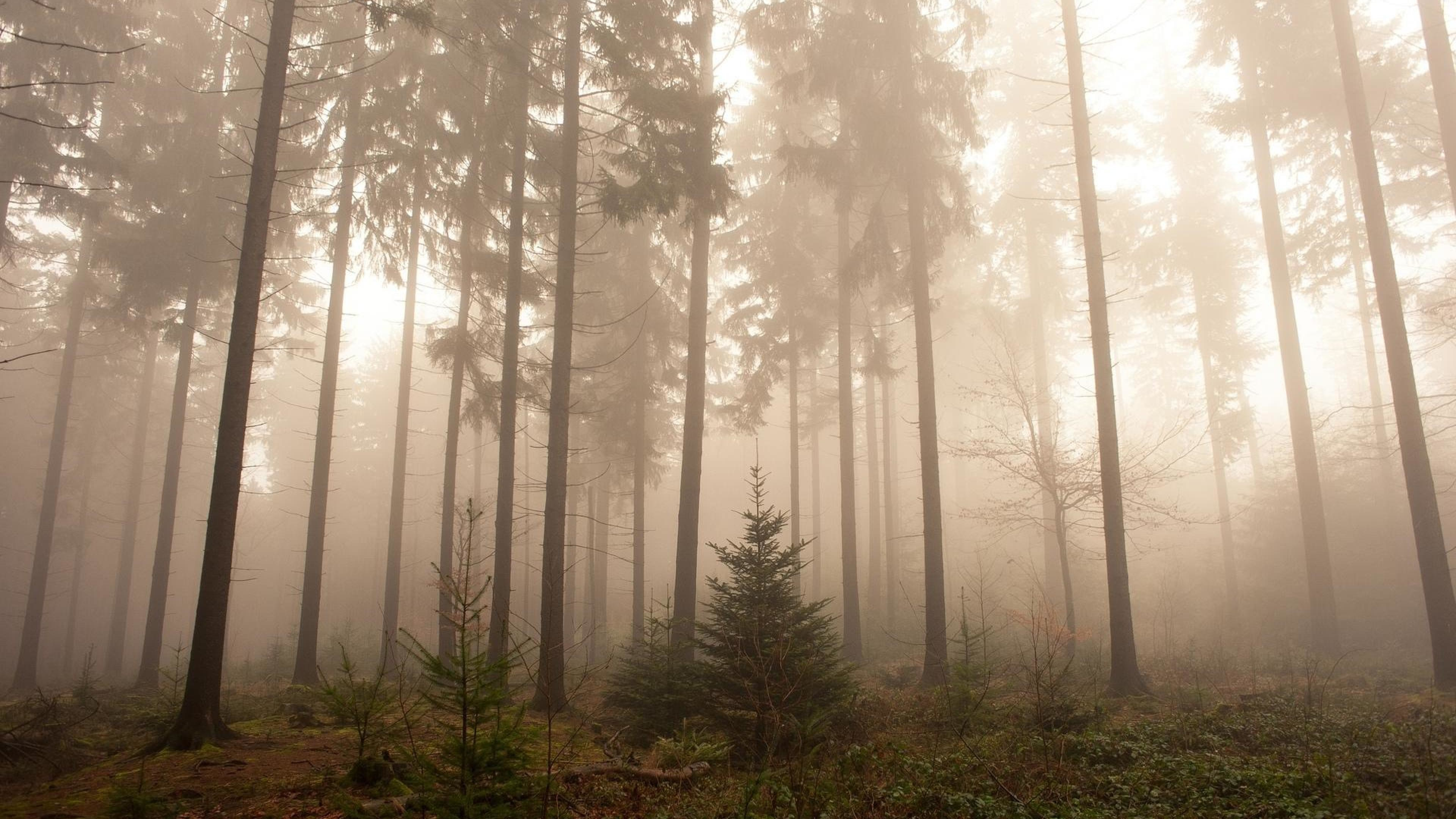 Res: 3840x2160,  Nature Foggy Forest Wallpapers.