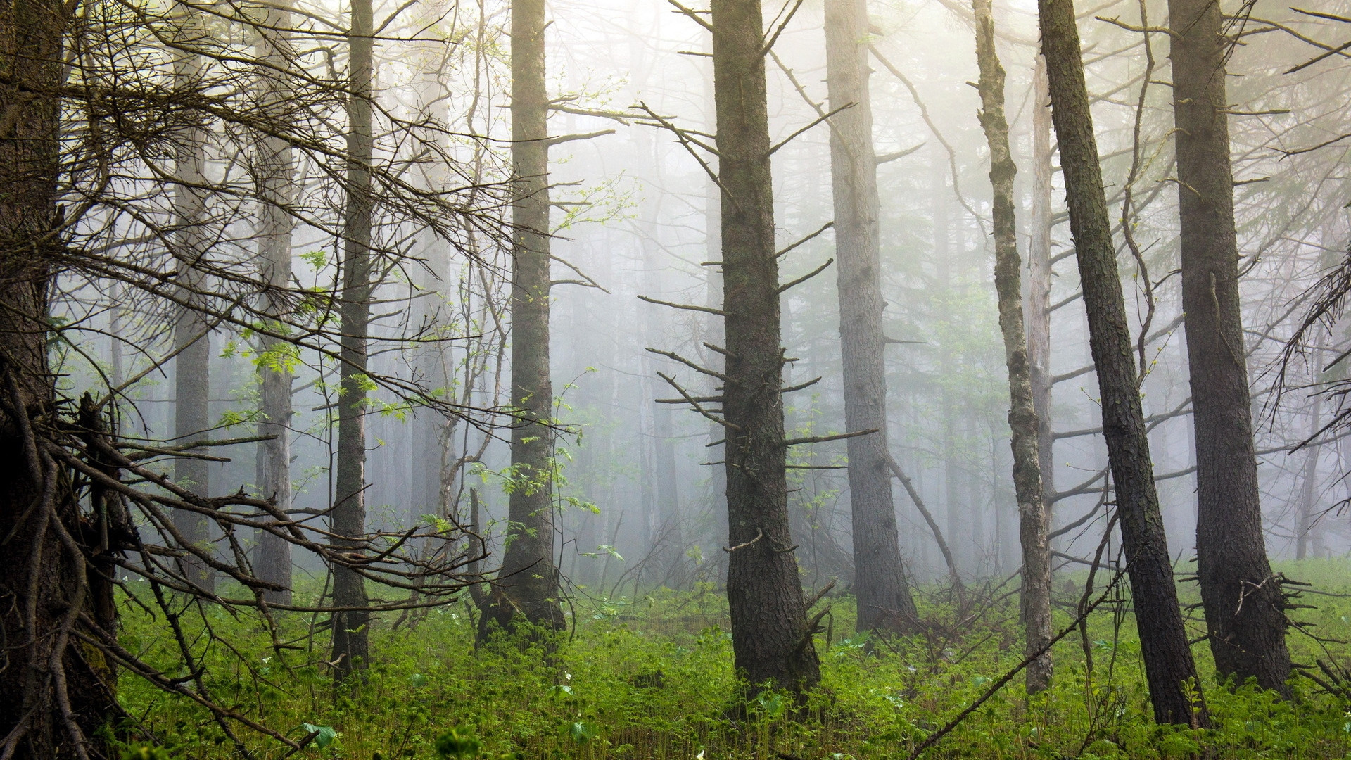 Res: 1920x1080, Gorgeous Nature Foggy Forest Wallpaper
