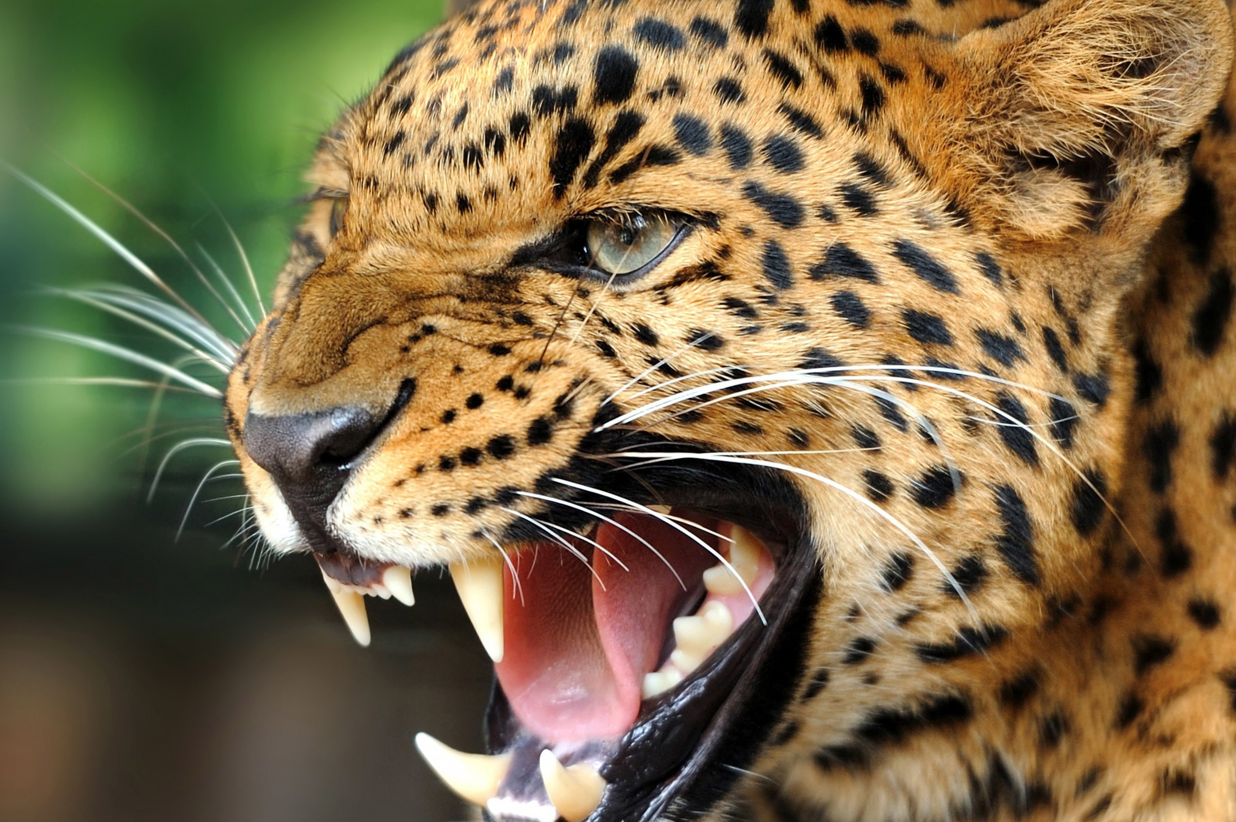 Res: 2545x1692, Cool Wild Animal Wallpaper For Android
